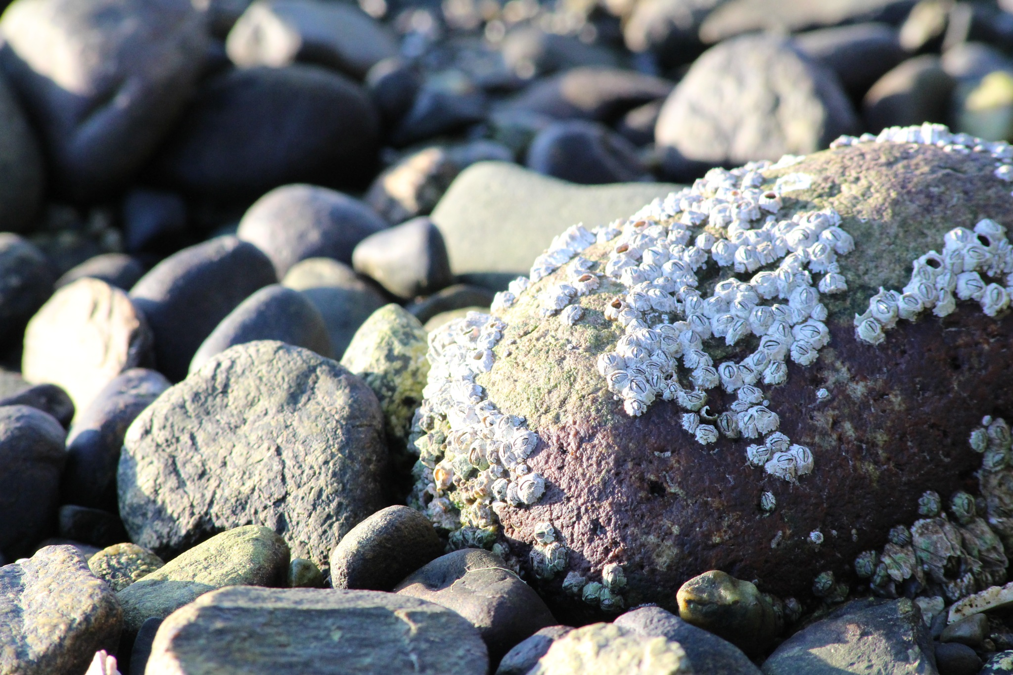 Sea Barnacles by Soblip