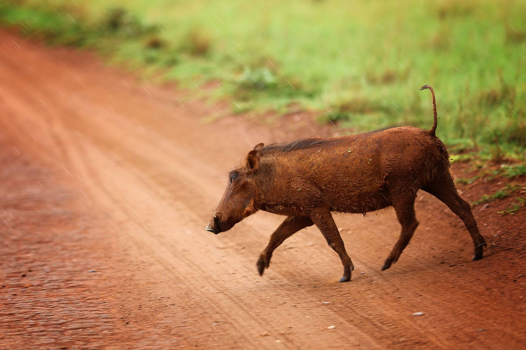 Why did Pumba cross the road? by Jennie