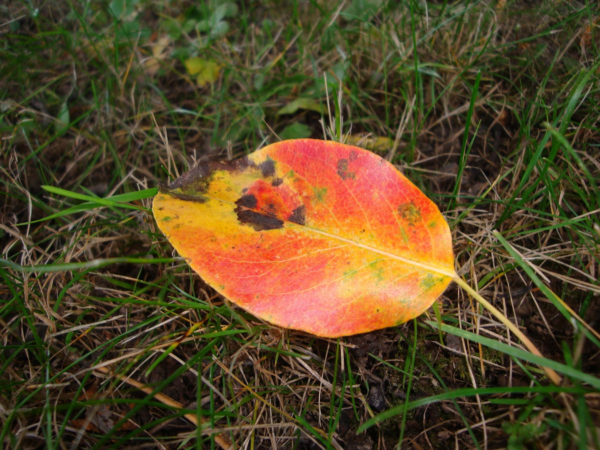 Fire leaf by MMiriam