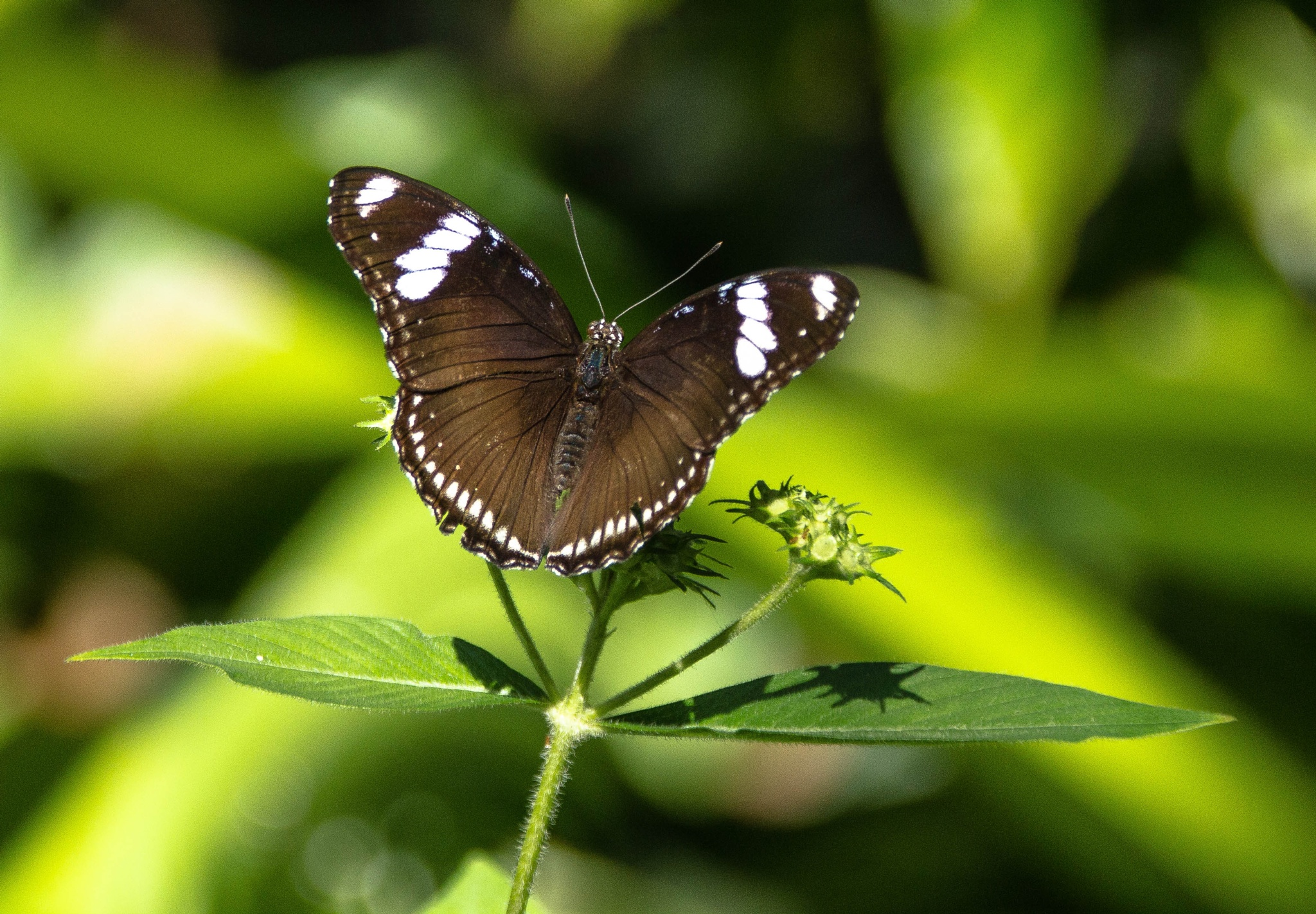 Brown & White Butterfly by Peter Cavaliere