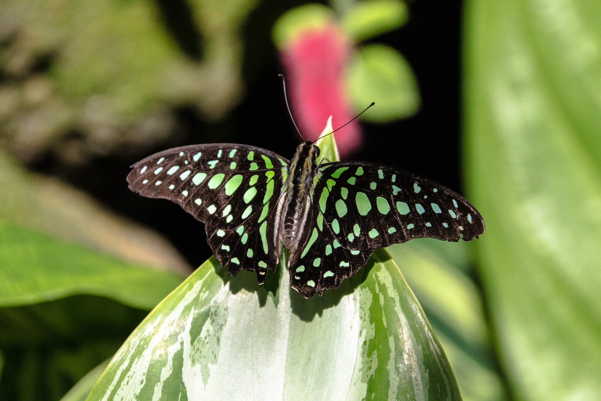 A Tailed Jay Butterfly by Peter Cavaliere
