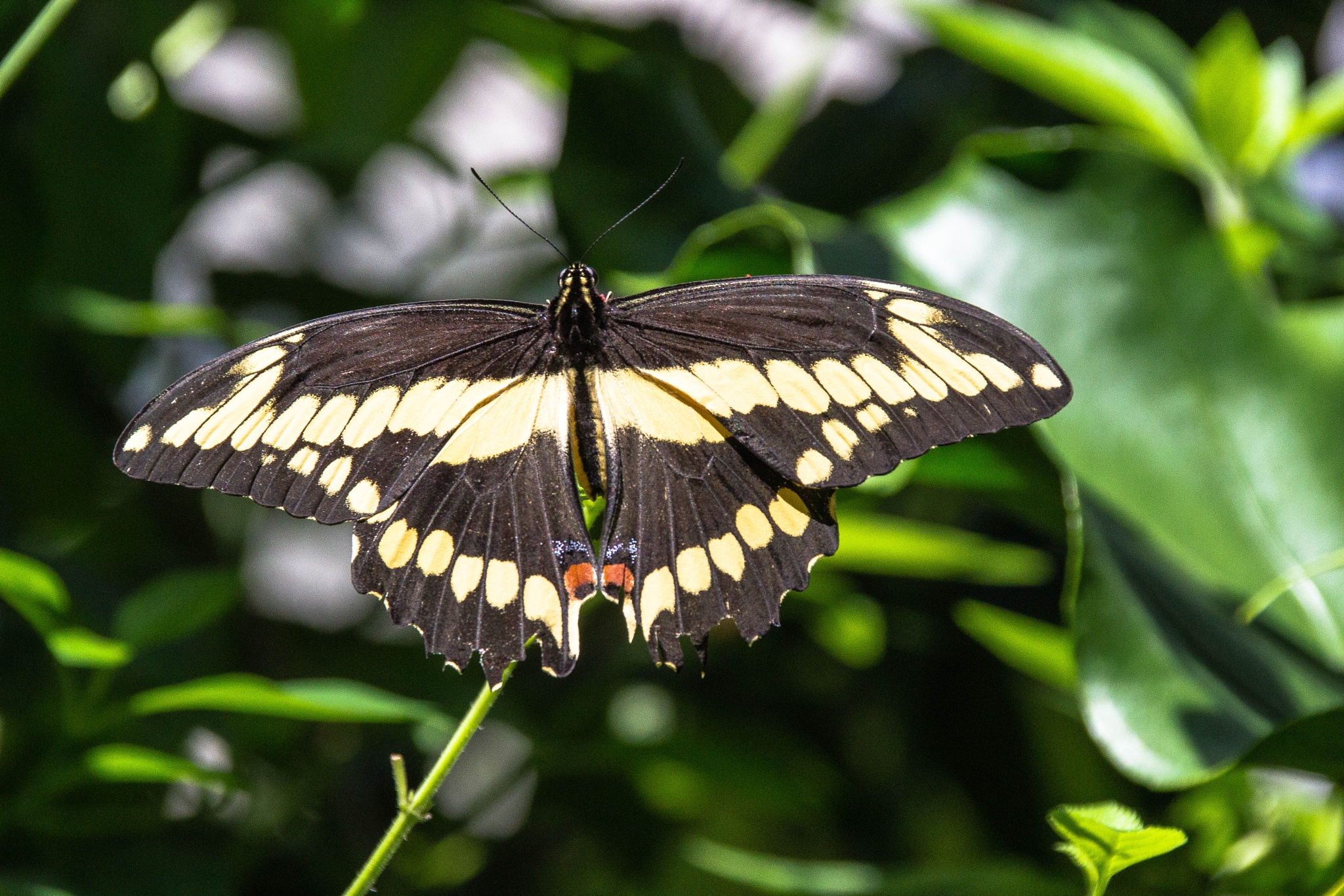 Swallowtail Giant Papilio by Peter Cavaliere