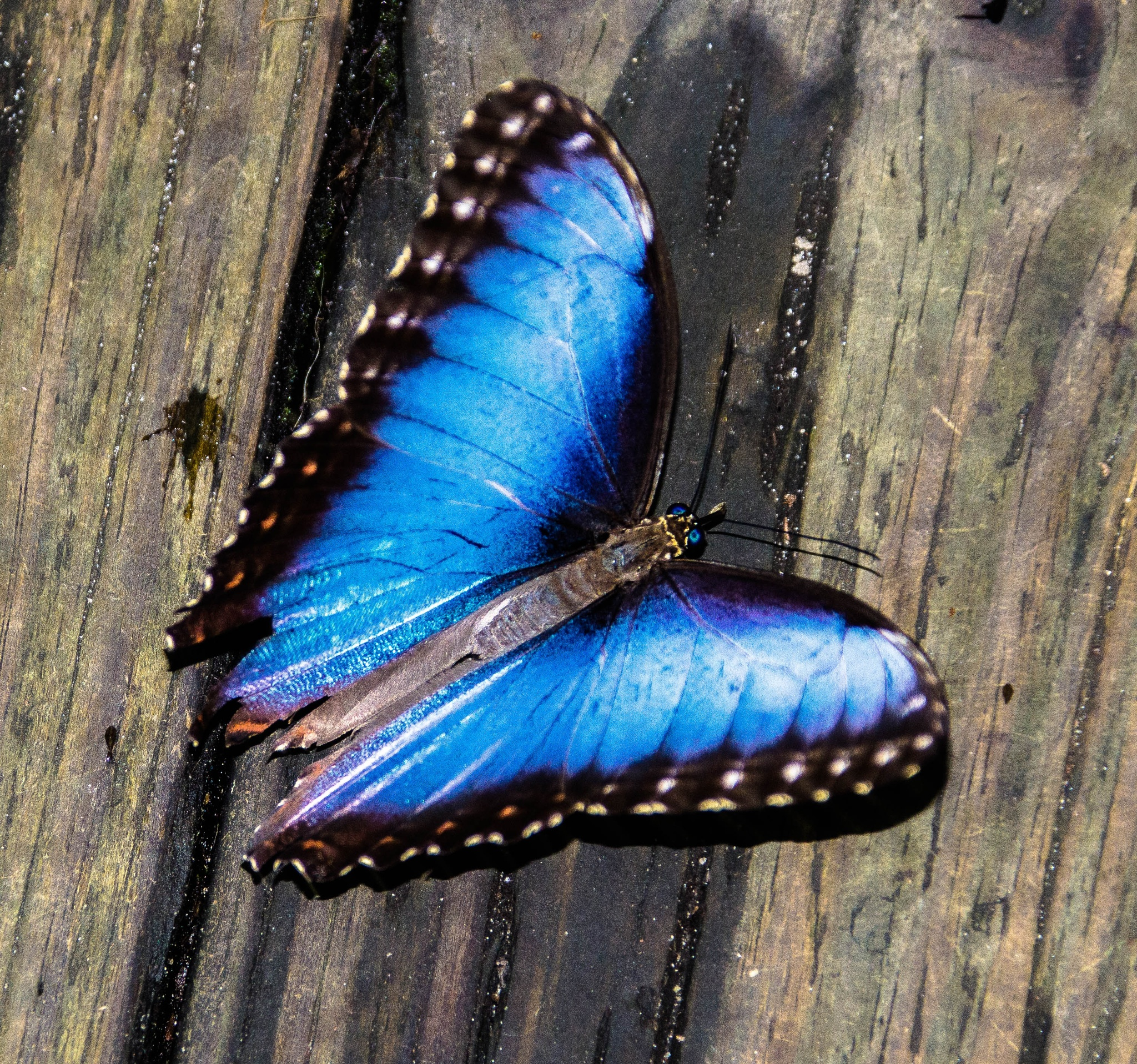 My Elusive Butterfly - A Blue Morpho by Peter Cavaliere