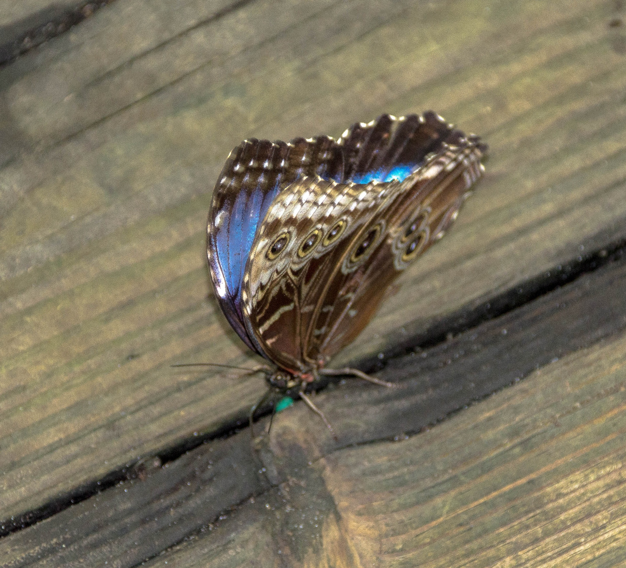 My Elusive Butterfly - Part II by Peter Cavaliere