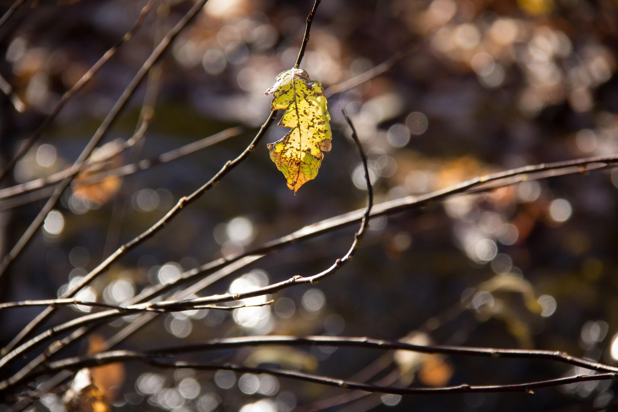 Last leaf by Sabrina Gomes