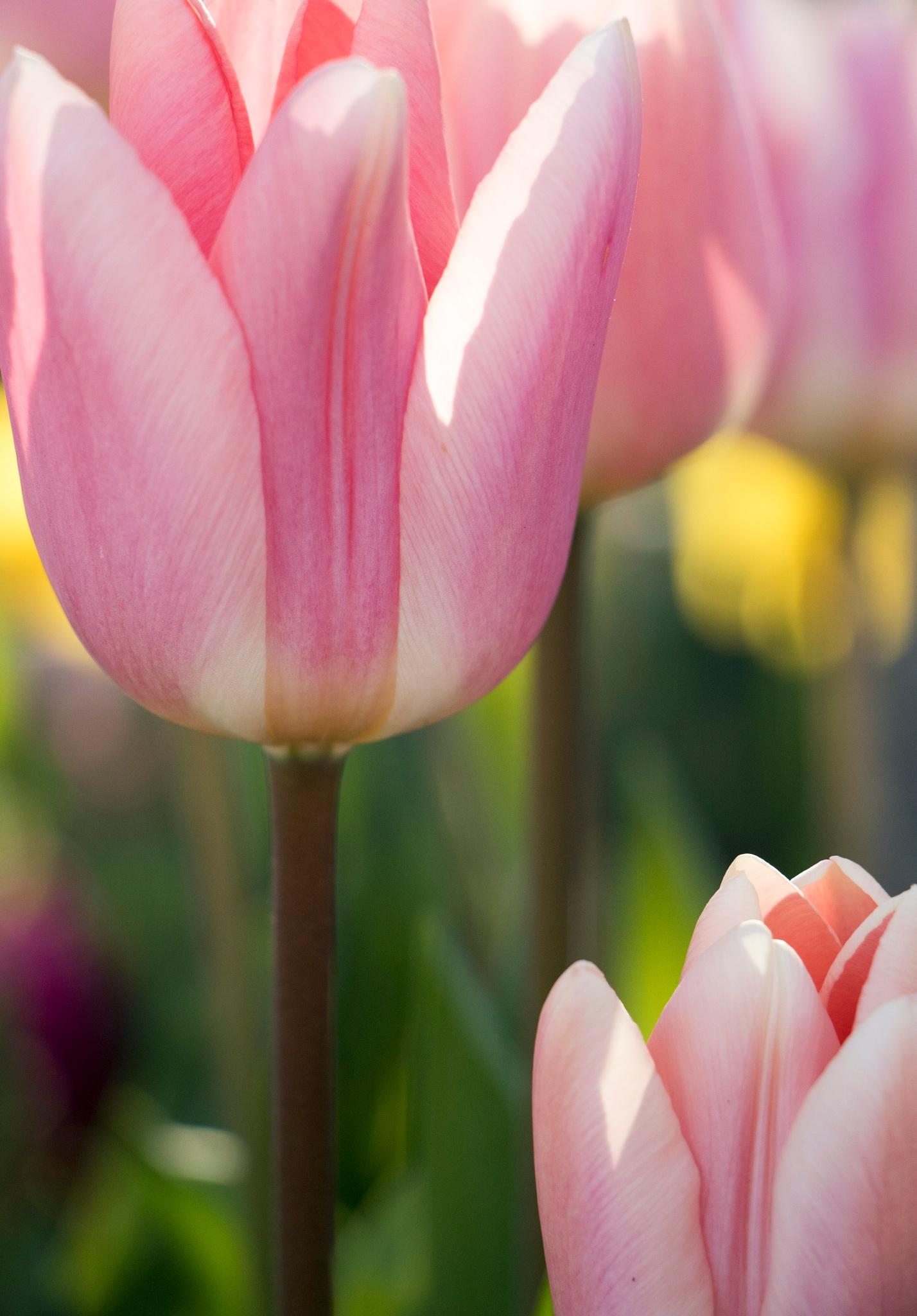 Town Tulips by mairesImages