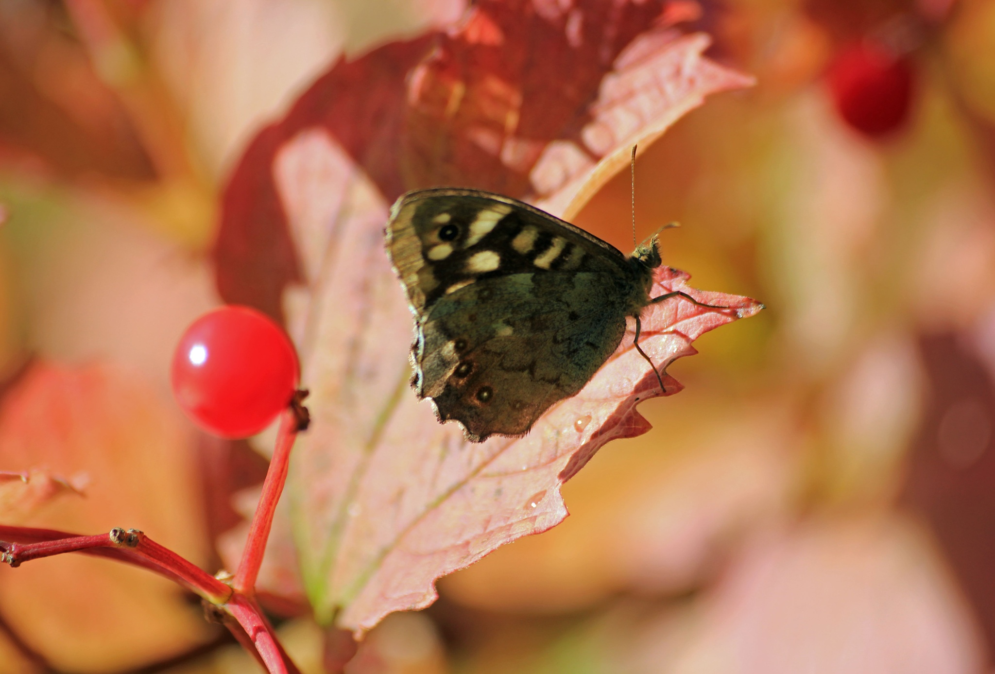 Autumnal Speckled Wood by Dragon Girl