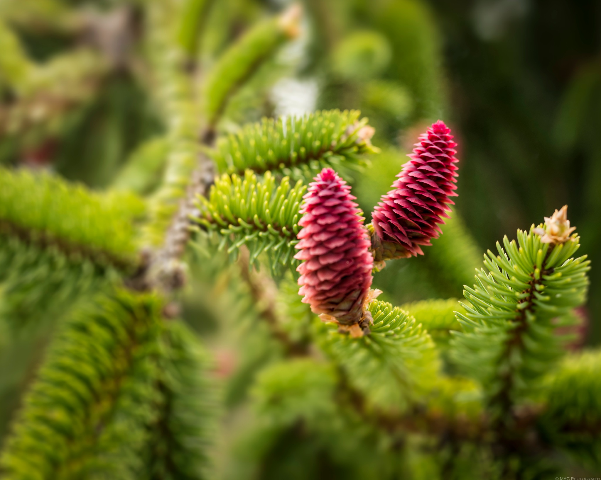 Pink Spruce Cones by Bob McCormac