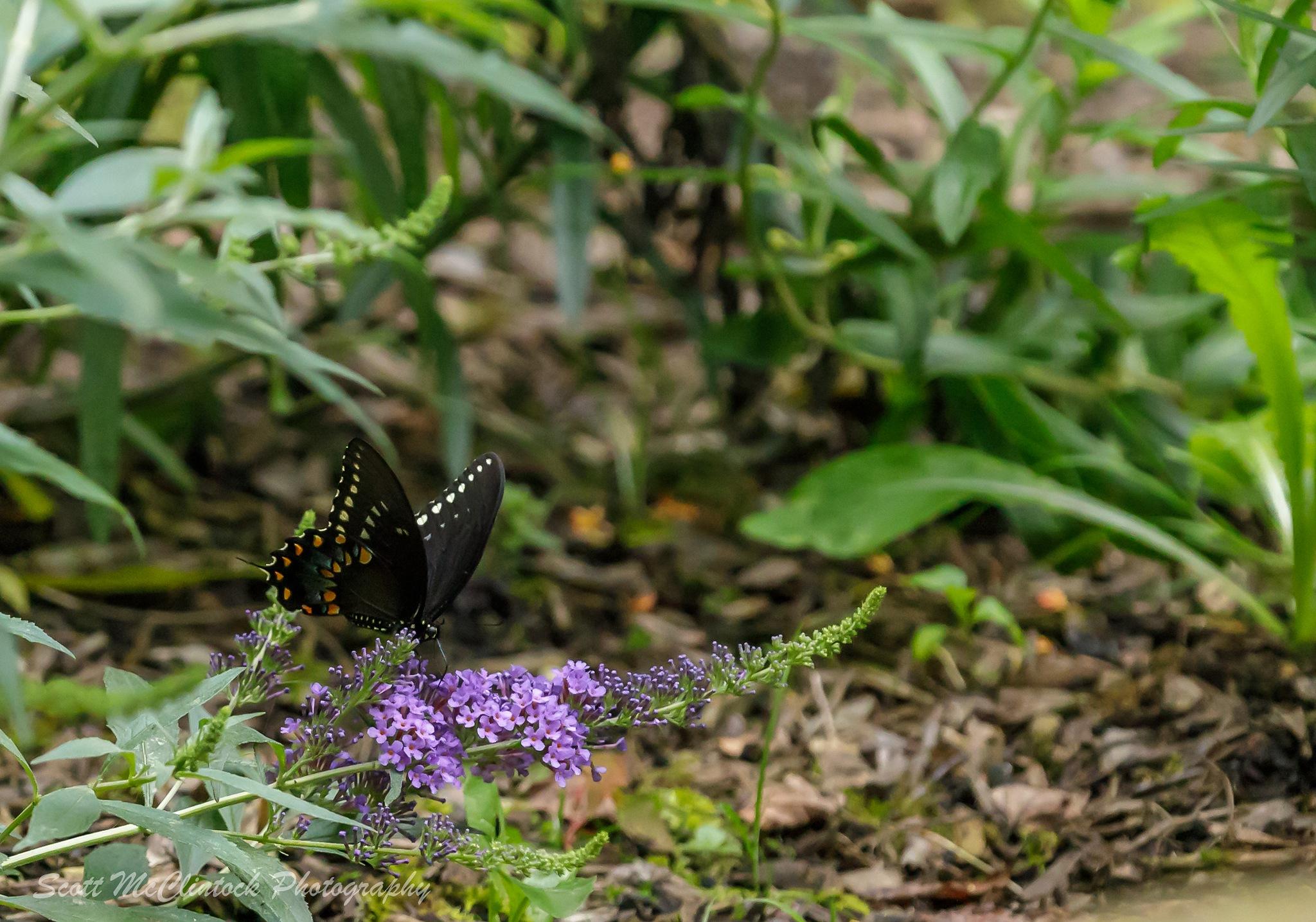 Black Swallow Tail by Scottmcc