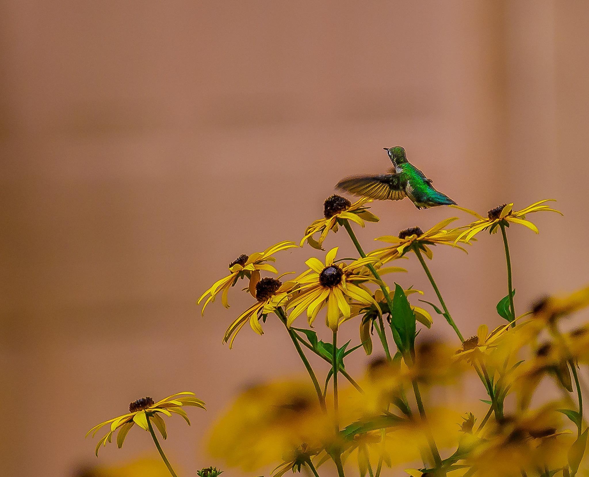 Hummingbird help!!!!!! by Scottmcc