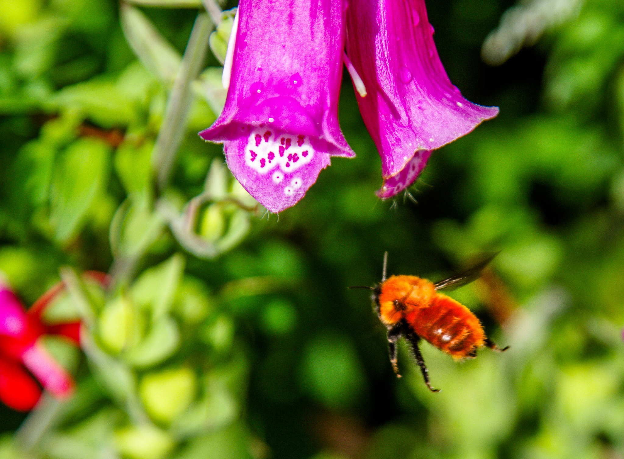 Bees of Chile by Scottmcc
