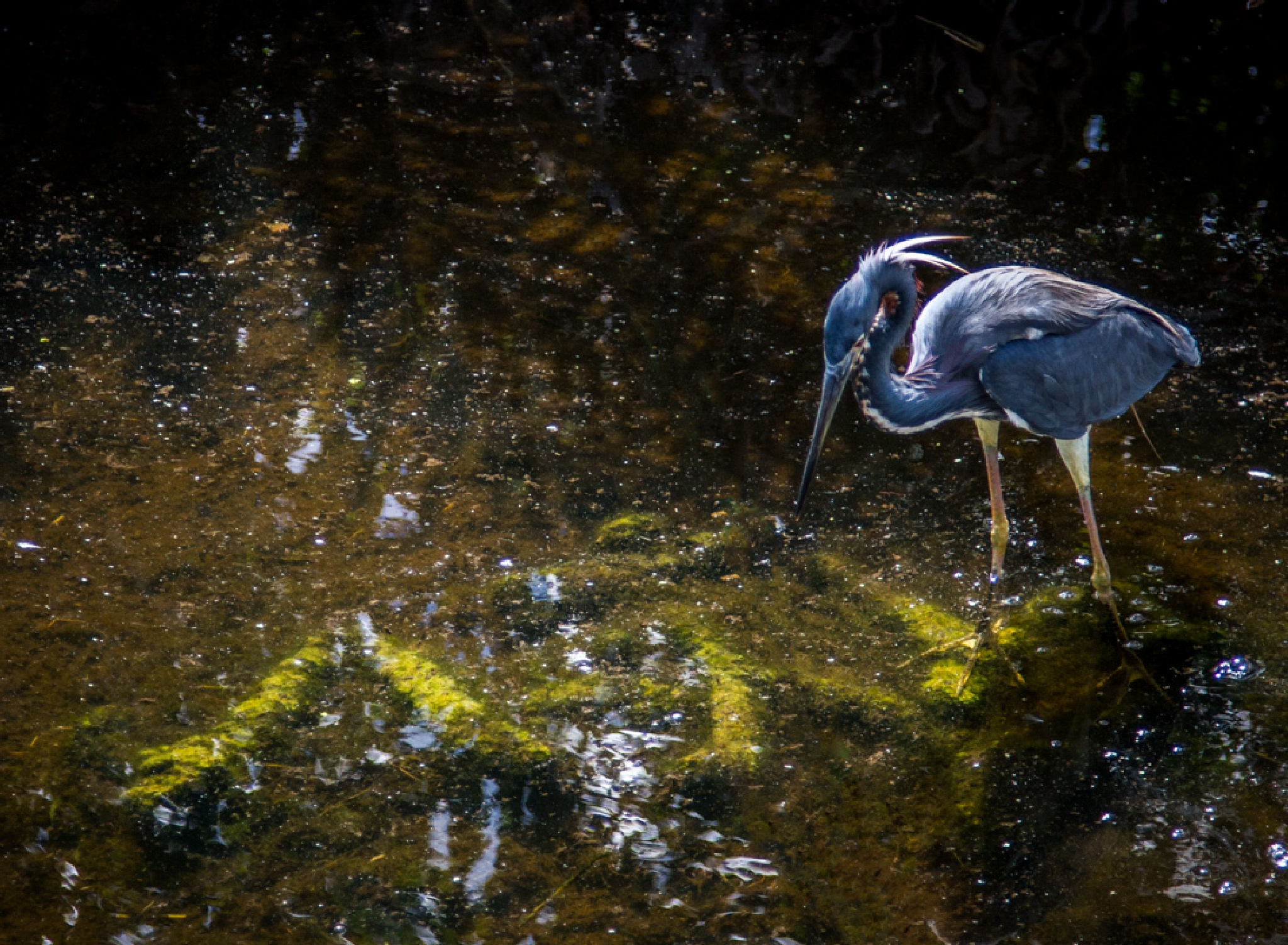 Great Blue Heron by Scottmcc