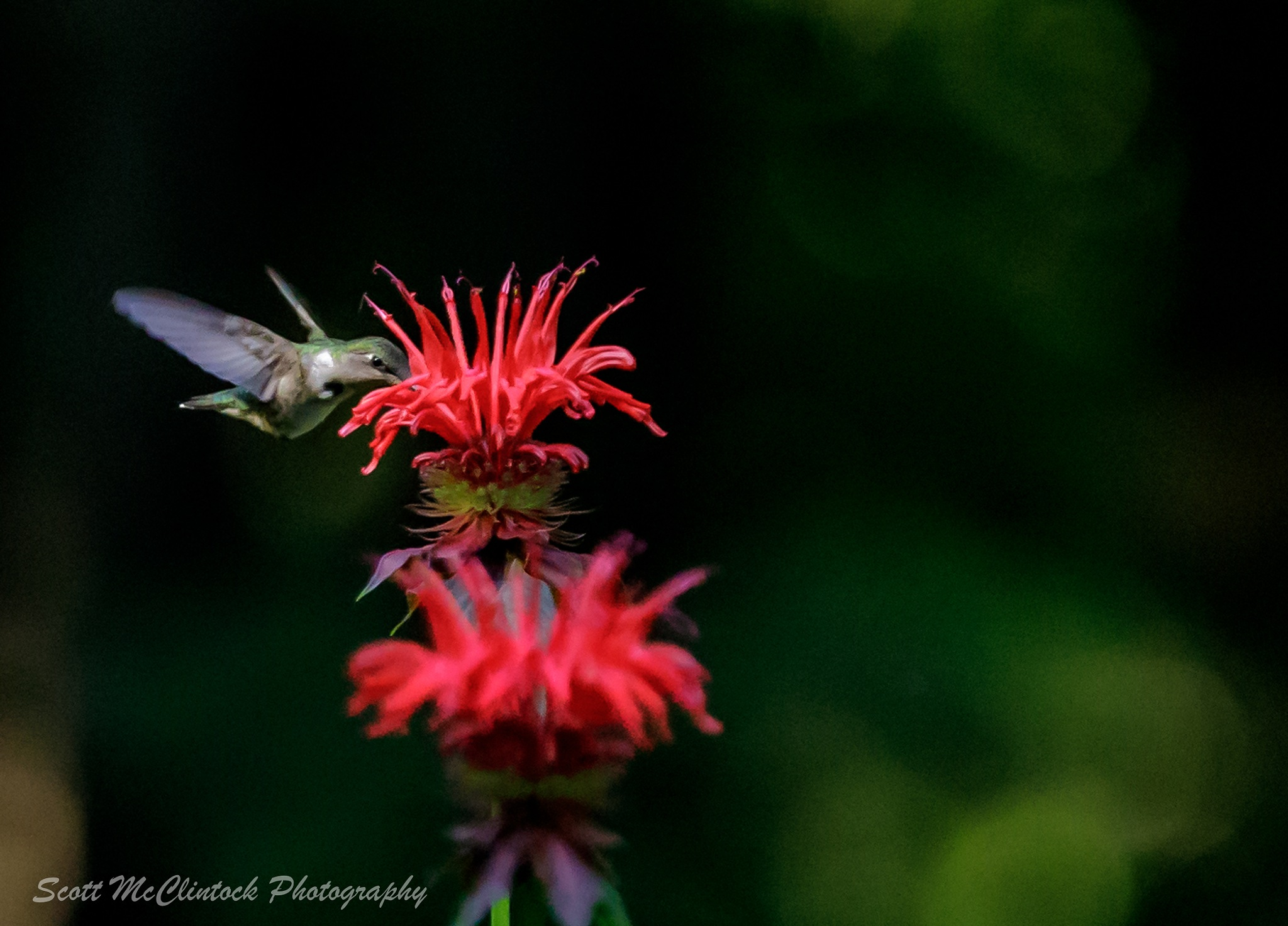 Busy Humming Bird by Scottmcc