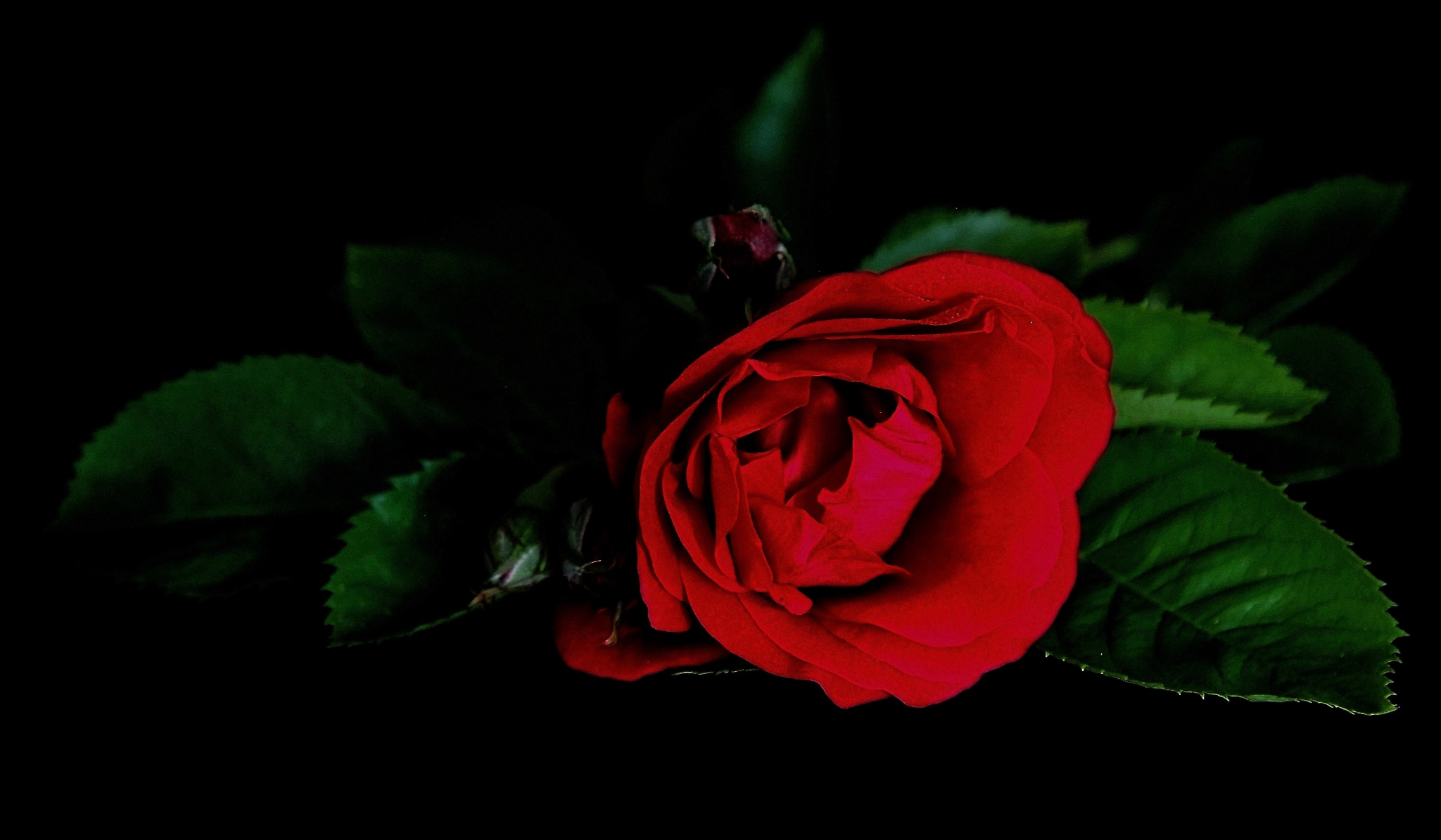 Rose by zabazulu