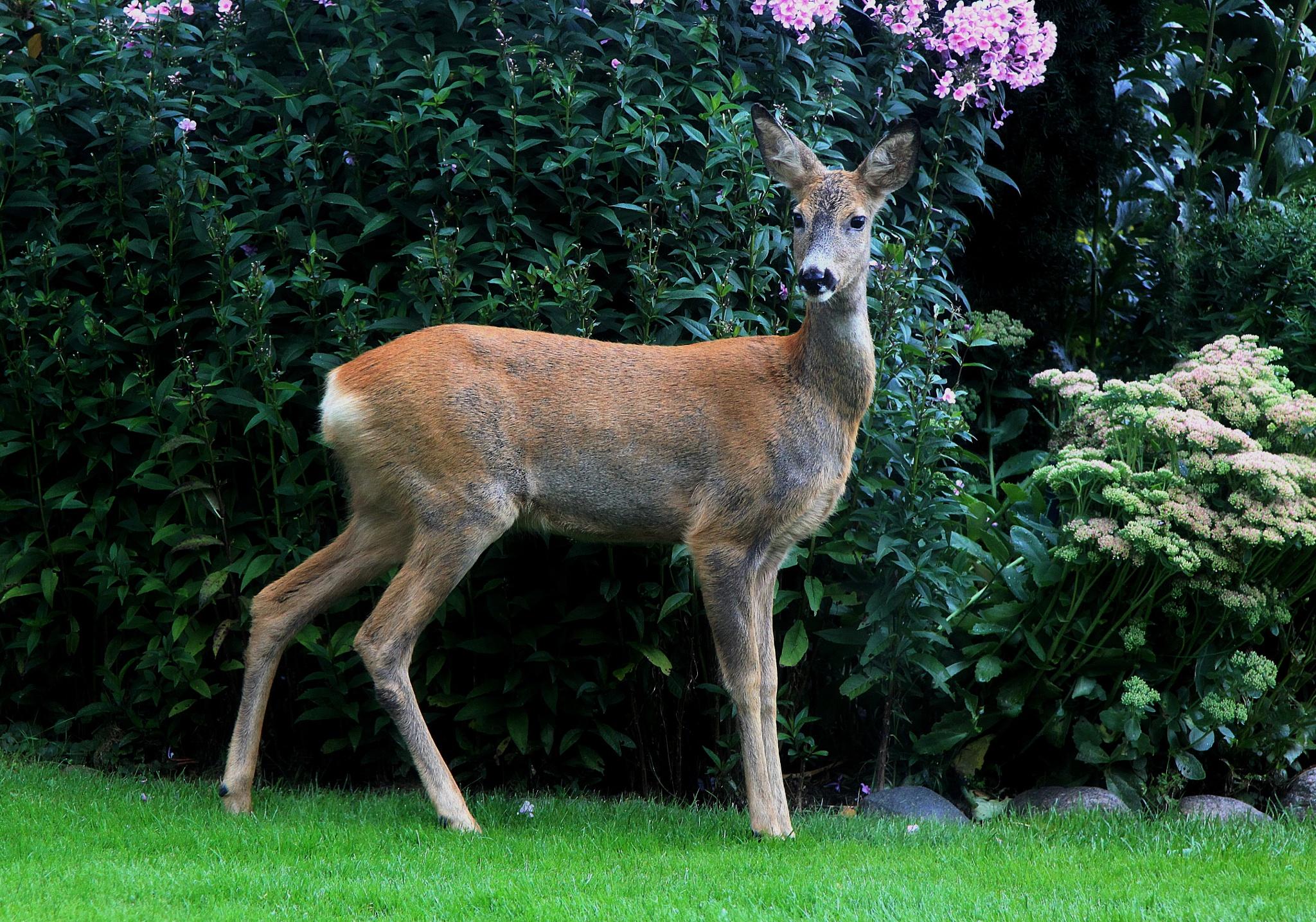 Deer by zabazulu