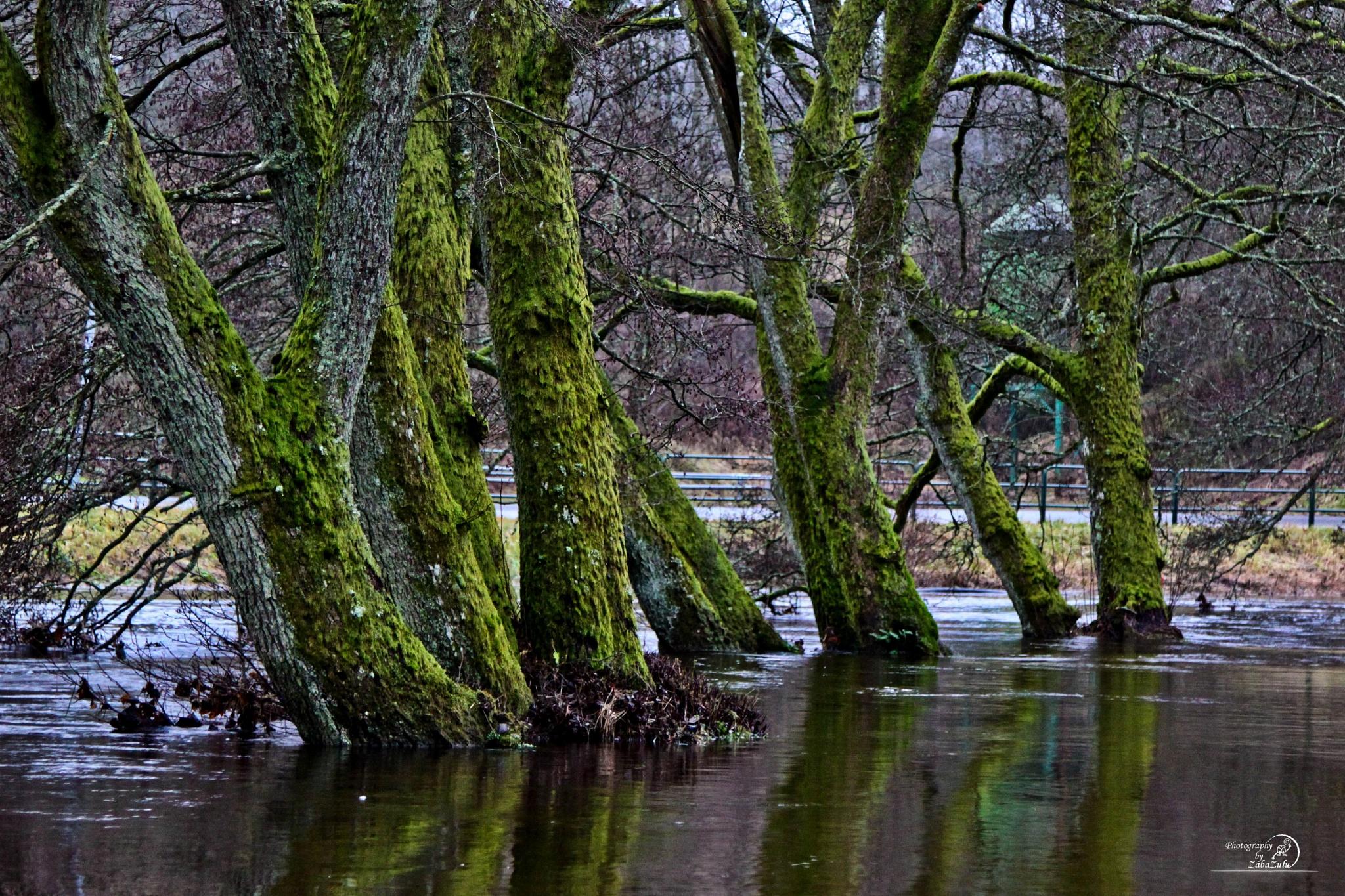 Green tree in water by zabazulu
