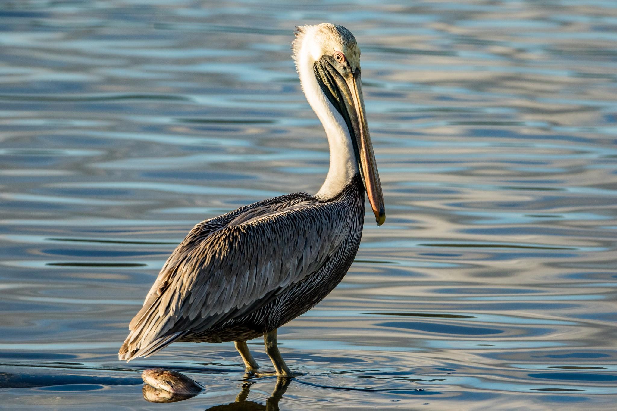 Brown Pelican by binkievanes