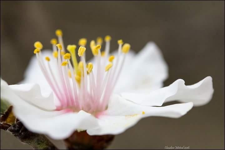 Fleur d'amandier by Claudine Mistral