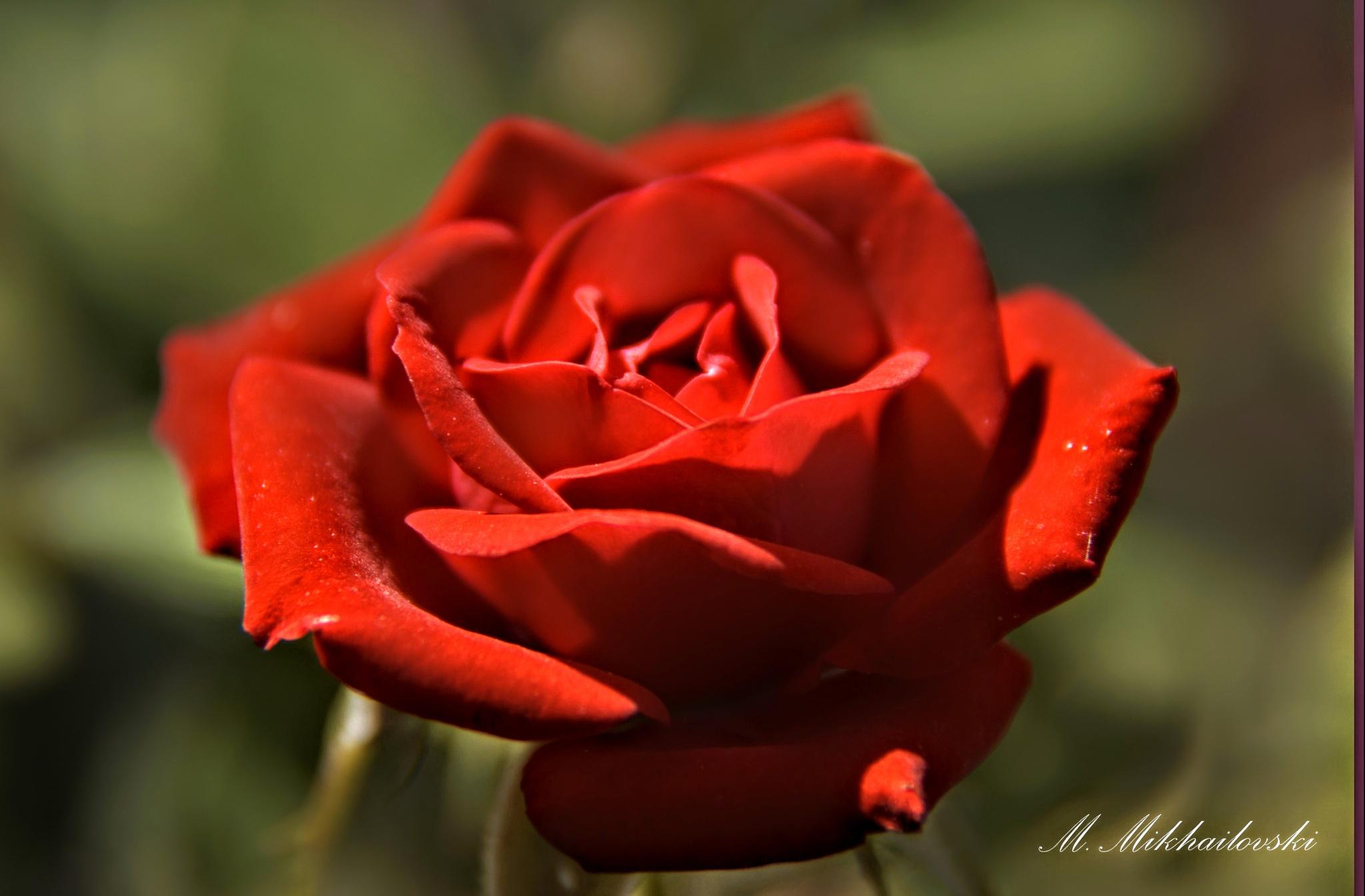 Rose by mikhailomikhaylovsky