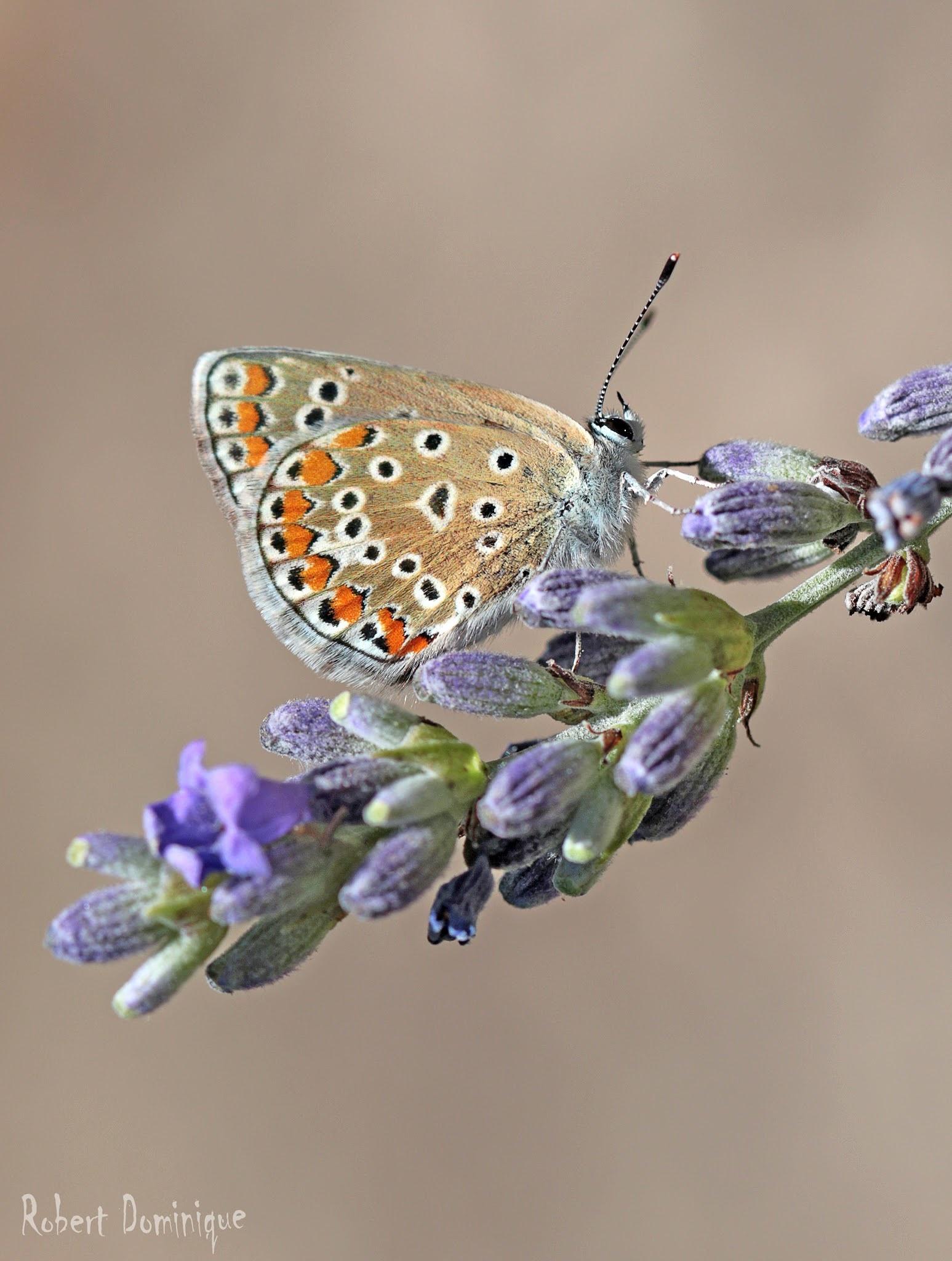 Papillon by Domi