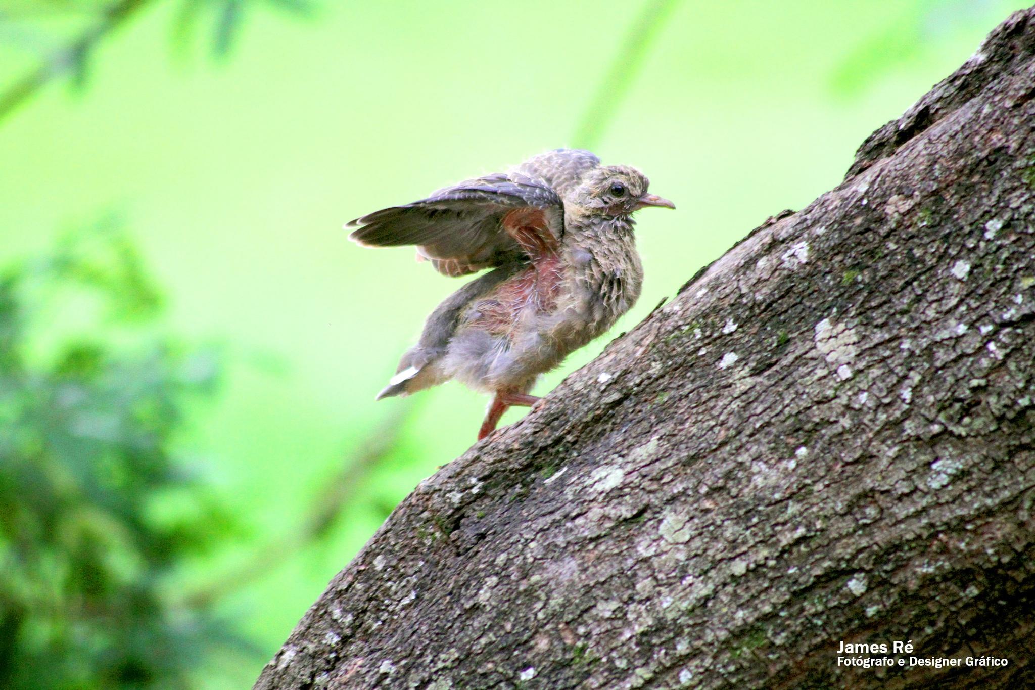 Baby Bird by James Ronaldo Ré
