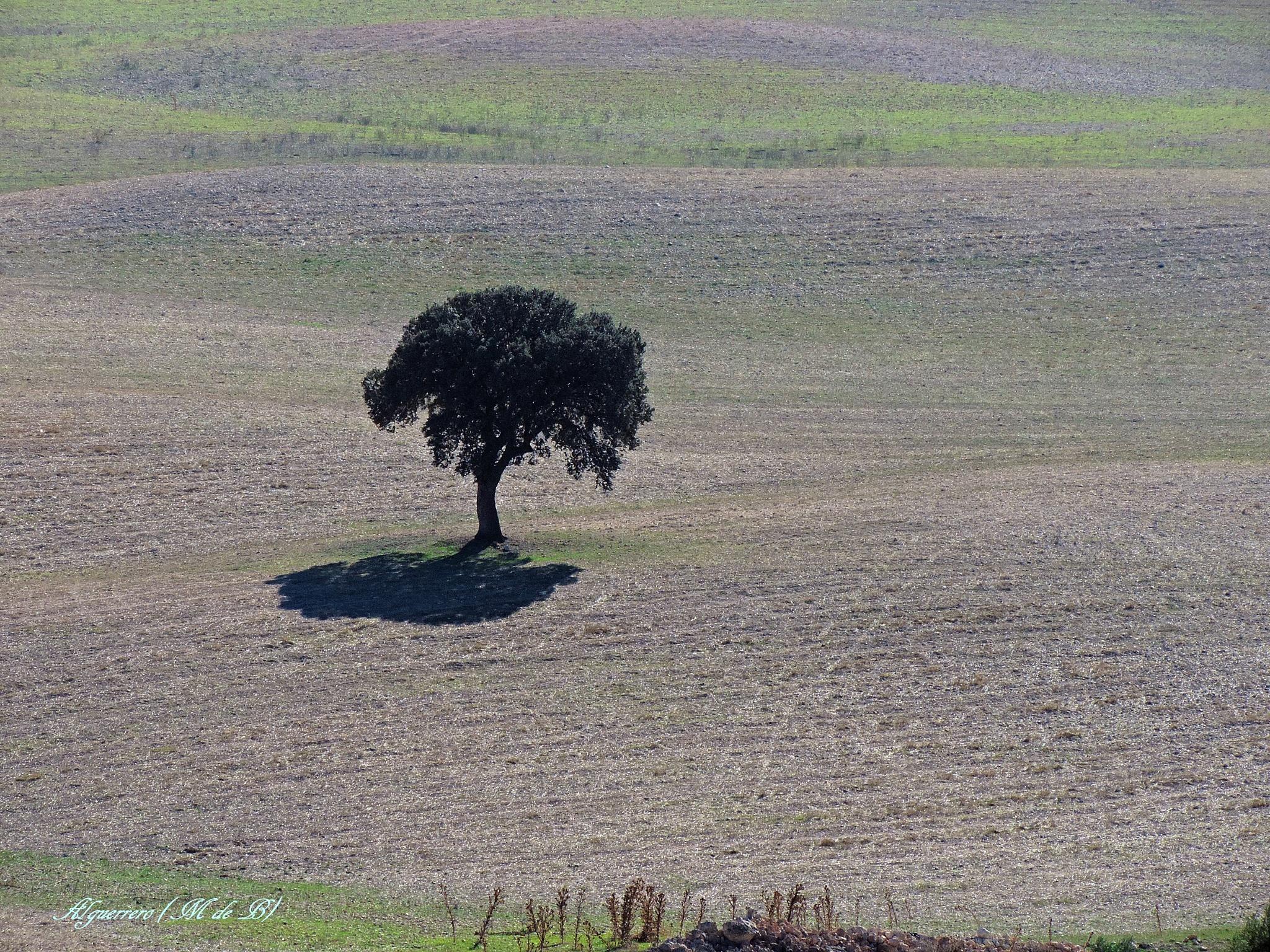 La sombra de la encina. (Oak shadow) by Angel L. Guerrero.