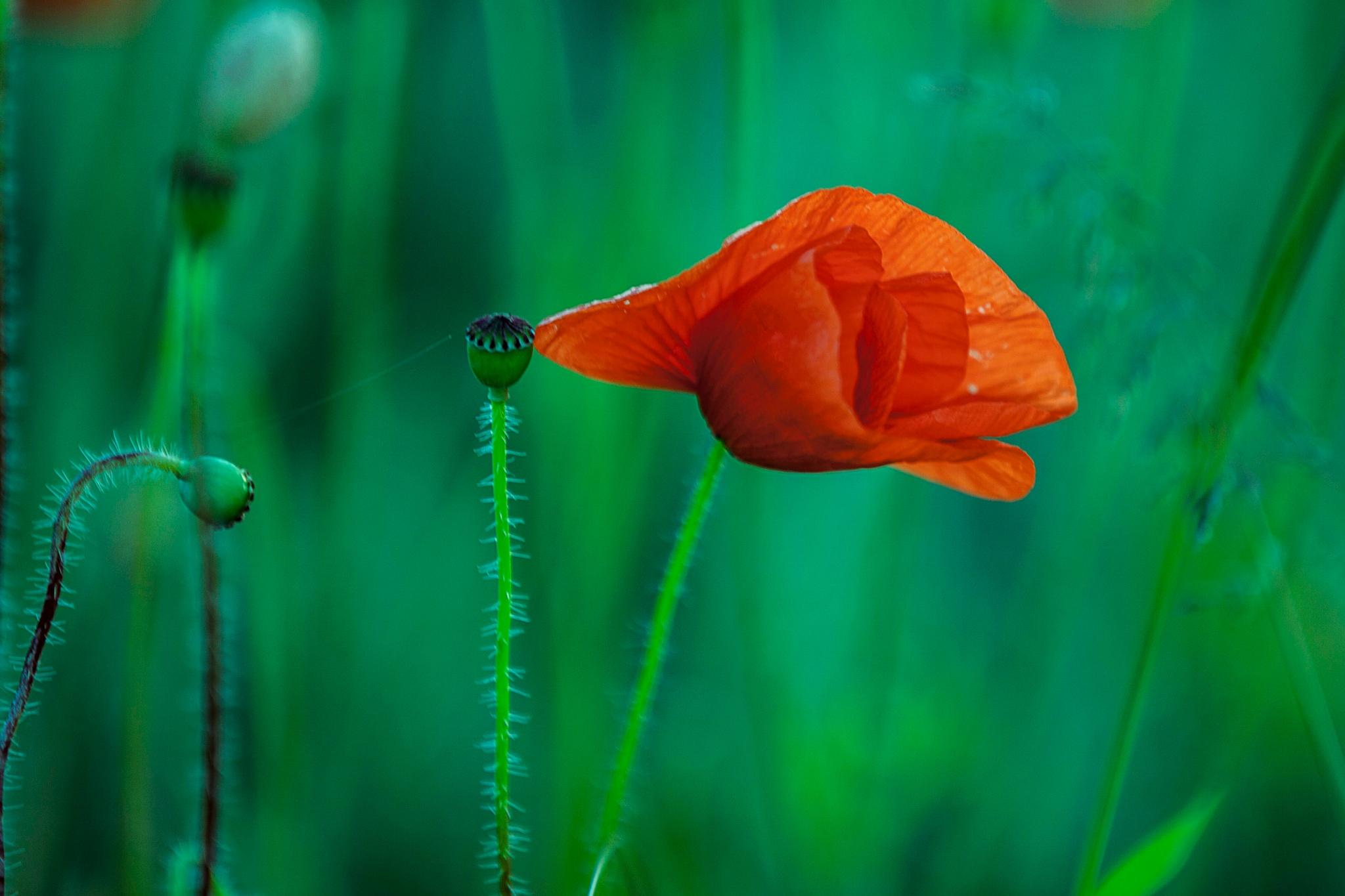 Little Poppy by Stern100