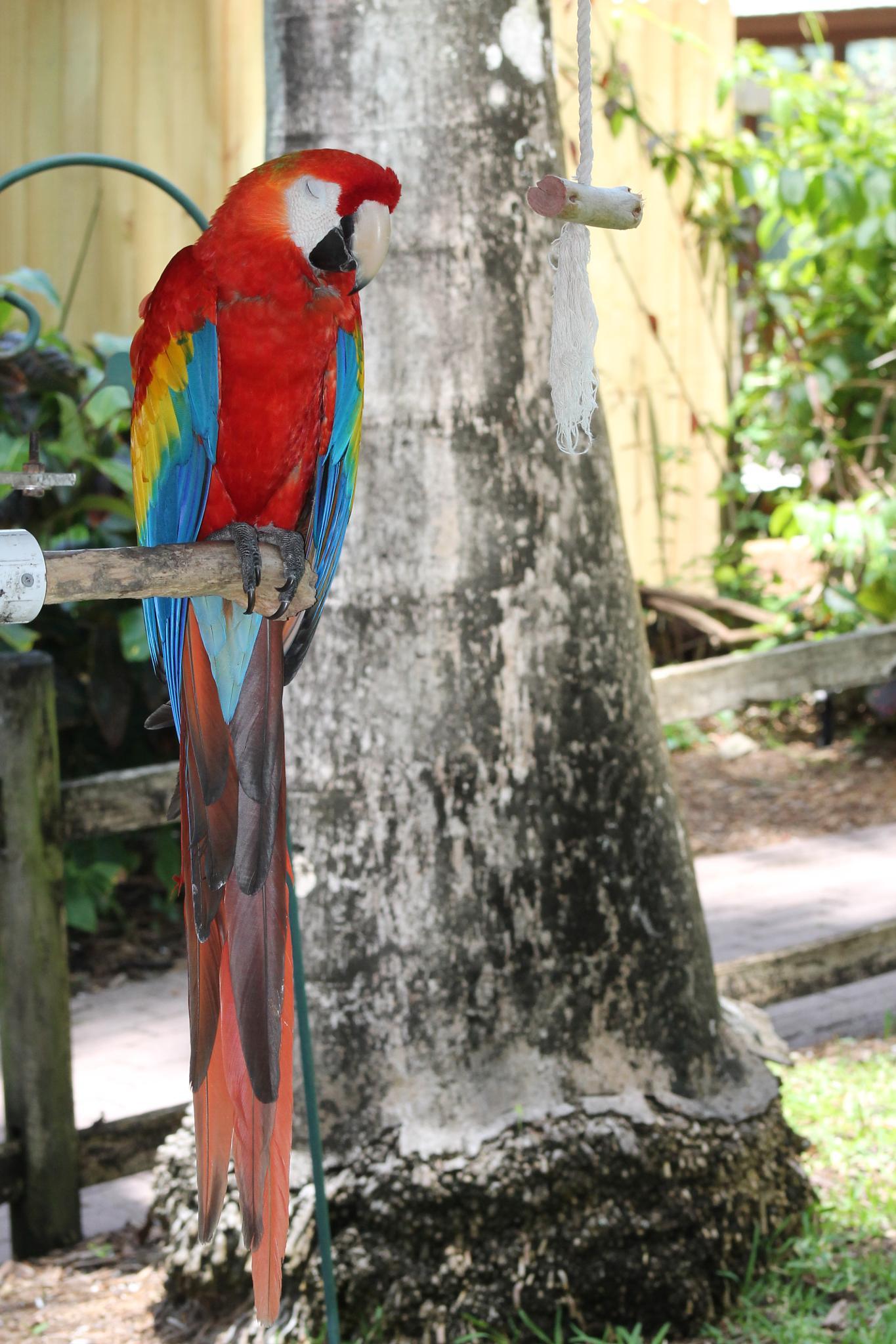 Sleepy Macaw by JUDITH HORN