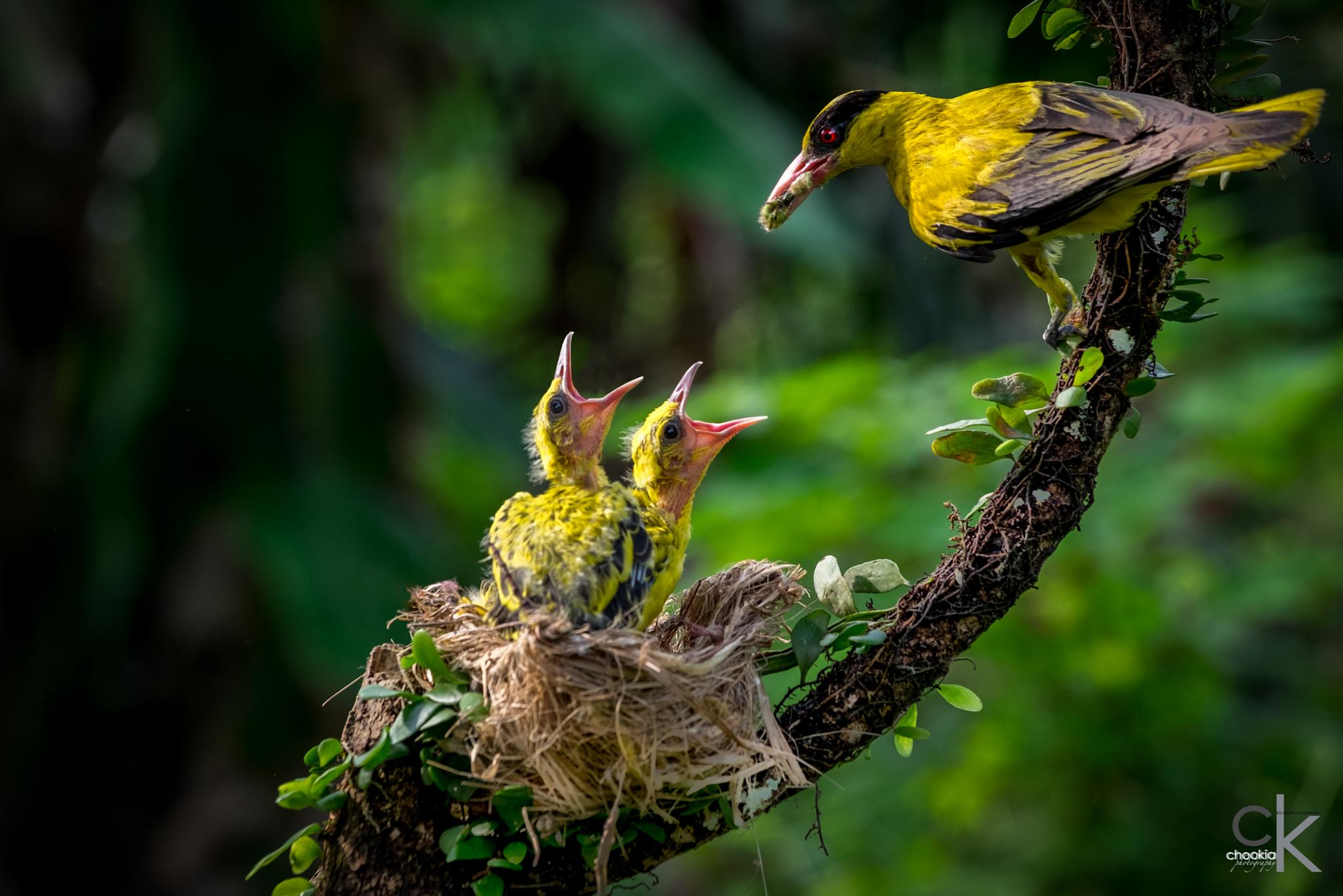 Feeding Time @Black-Naped Oriole  by chookia