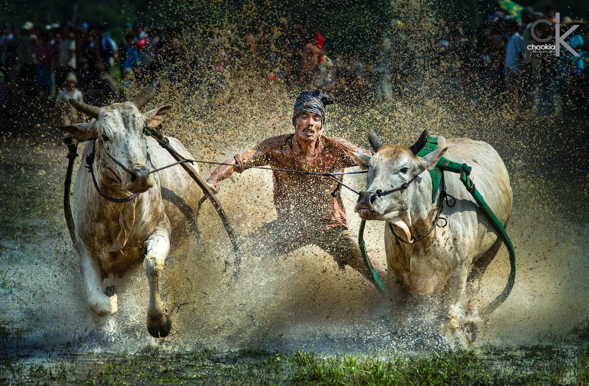 Bull Race @ Padang,Indonesia by chookia