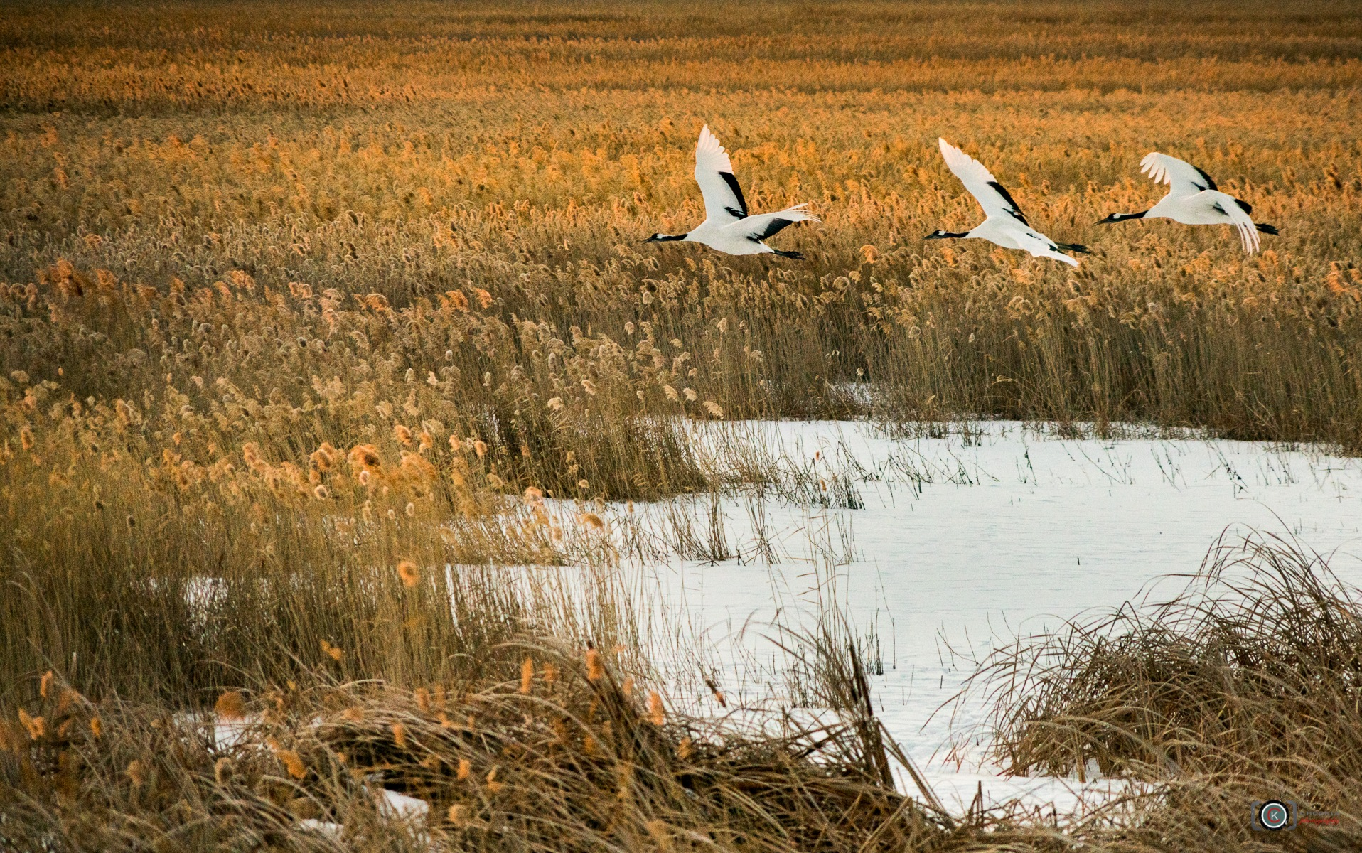 Red-Crowned Crane II Xianghai Reservoir-Dongbei  by chookia