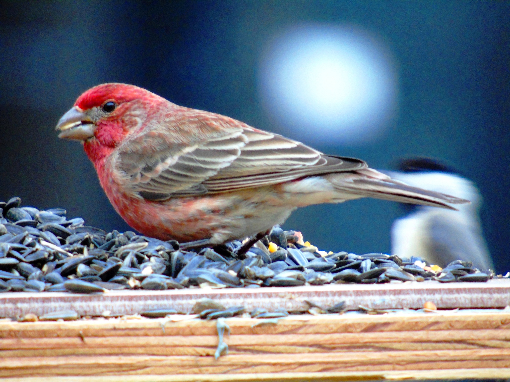 House Finch 3 by Mike Johnson