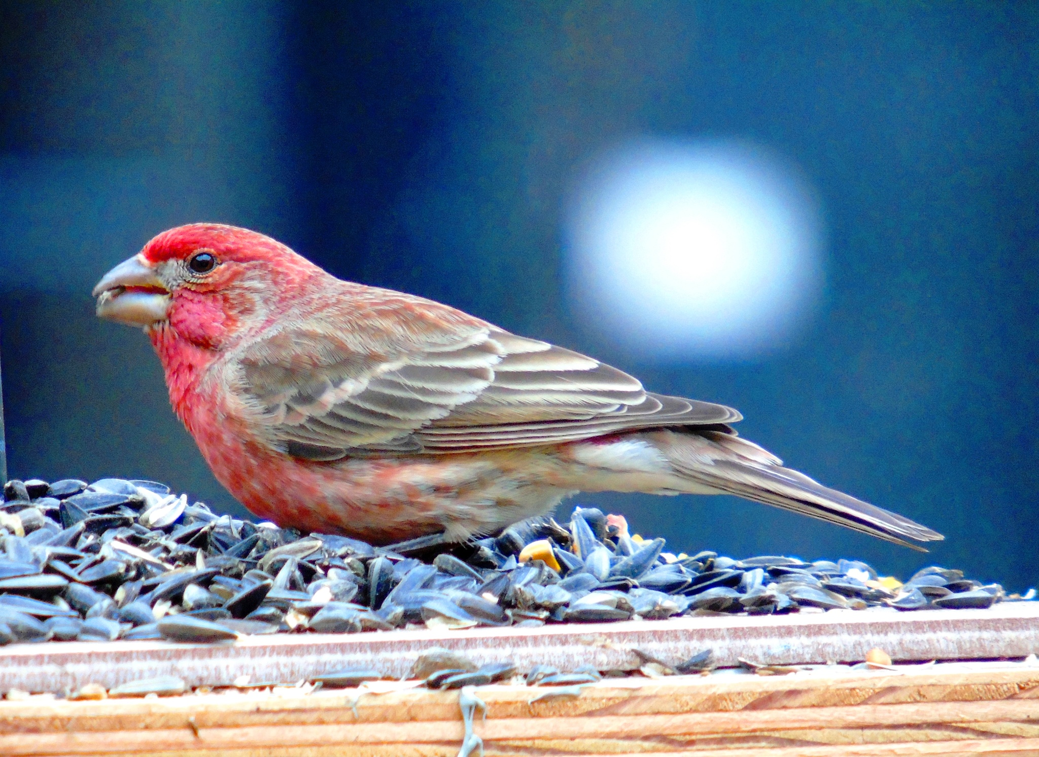 House Finch 4 by Mike Johnson