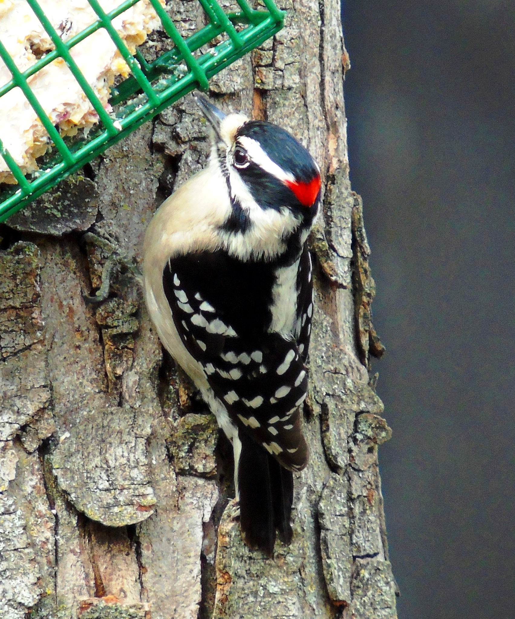 Downy Woodpecker 3 by Mike Johnson