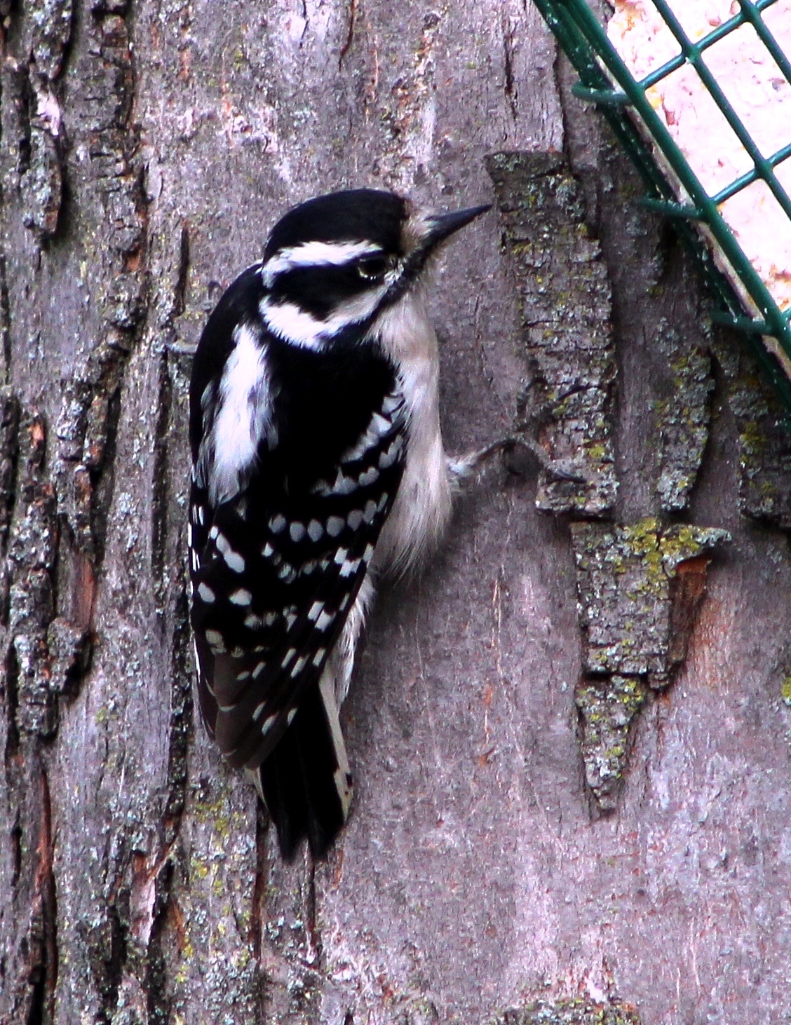 Downy Woodpecker 4 by Mike Johnson