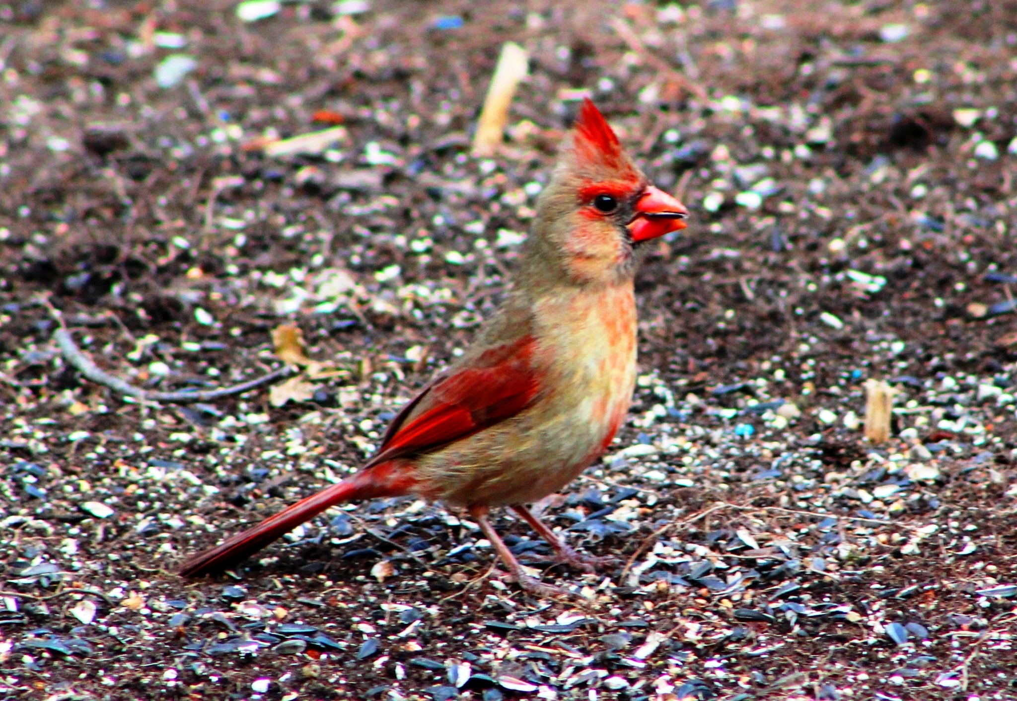 Female Cardinal by Mike Johnson