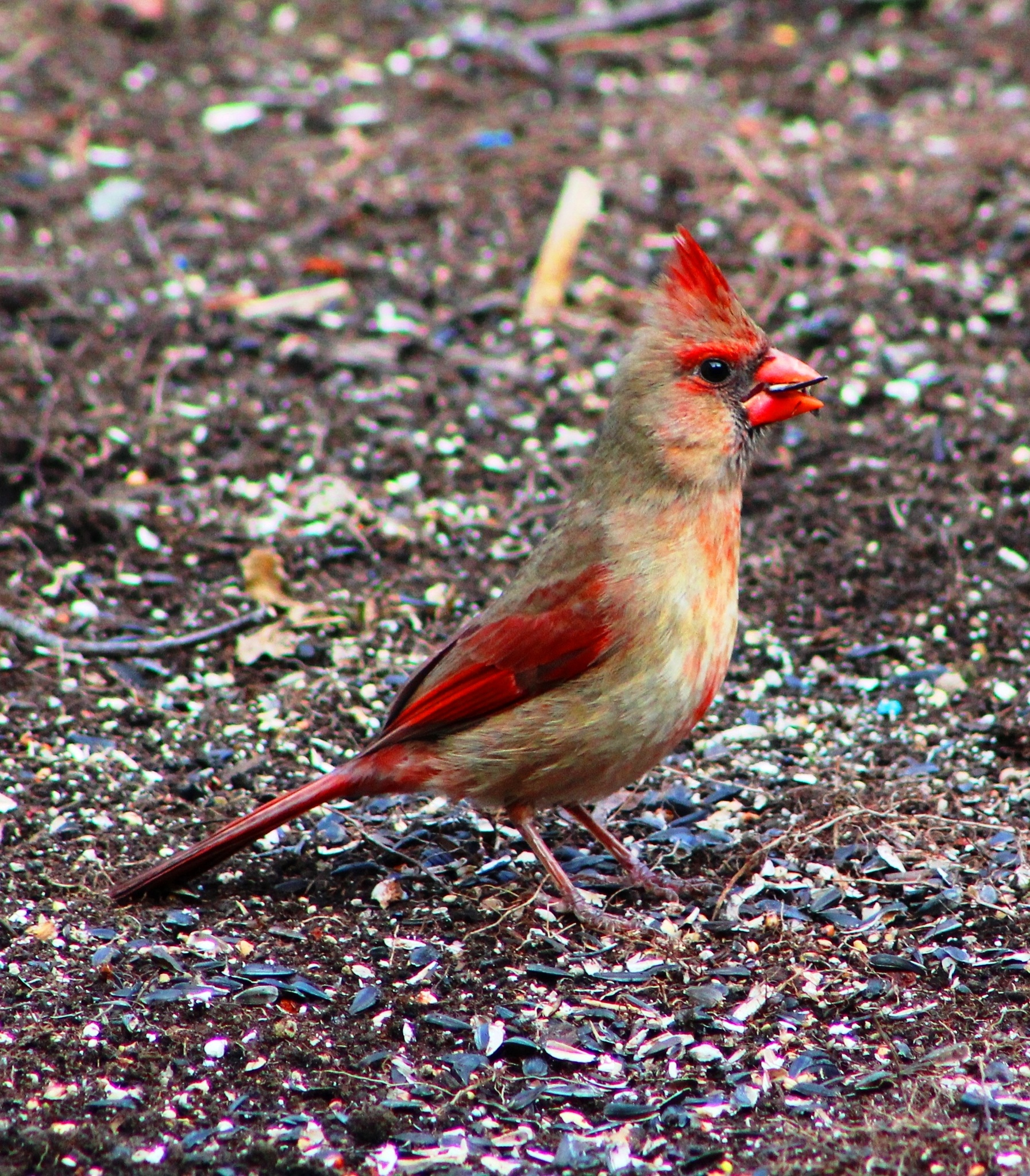 Female Cardinal 2 by Mike Johnson
