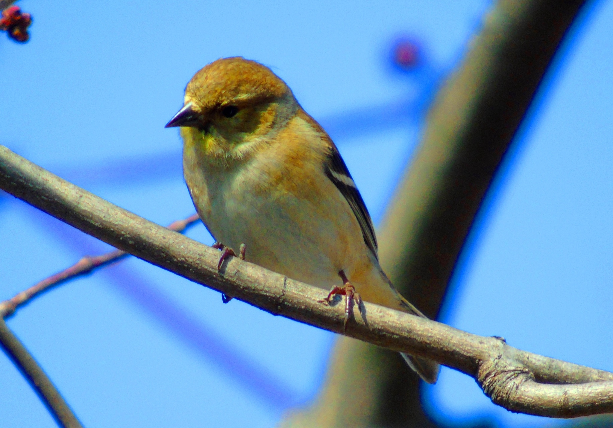 Gold Finch 5 by Mike Johnson