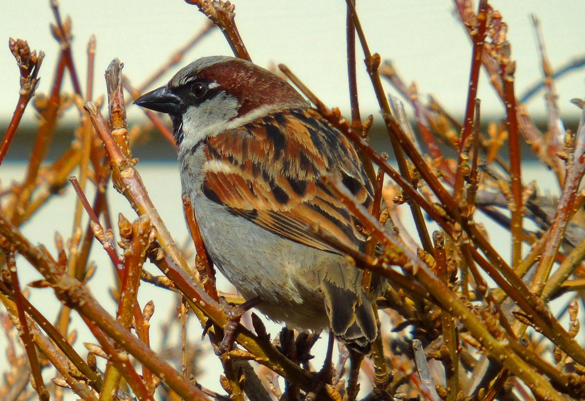 Sparrow 3 by Mike Johnson