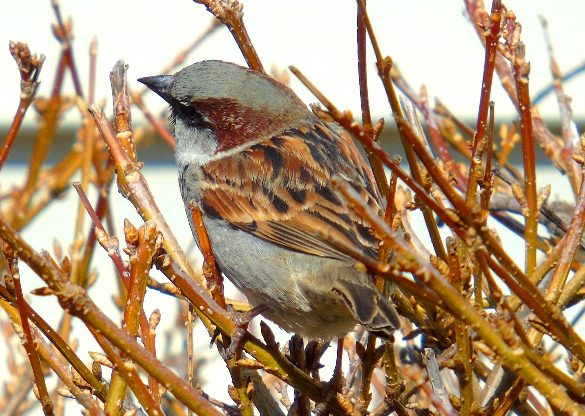 Sparrow 2 by Mike Johnson