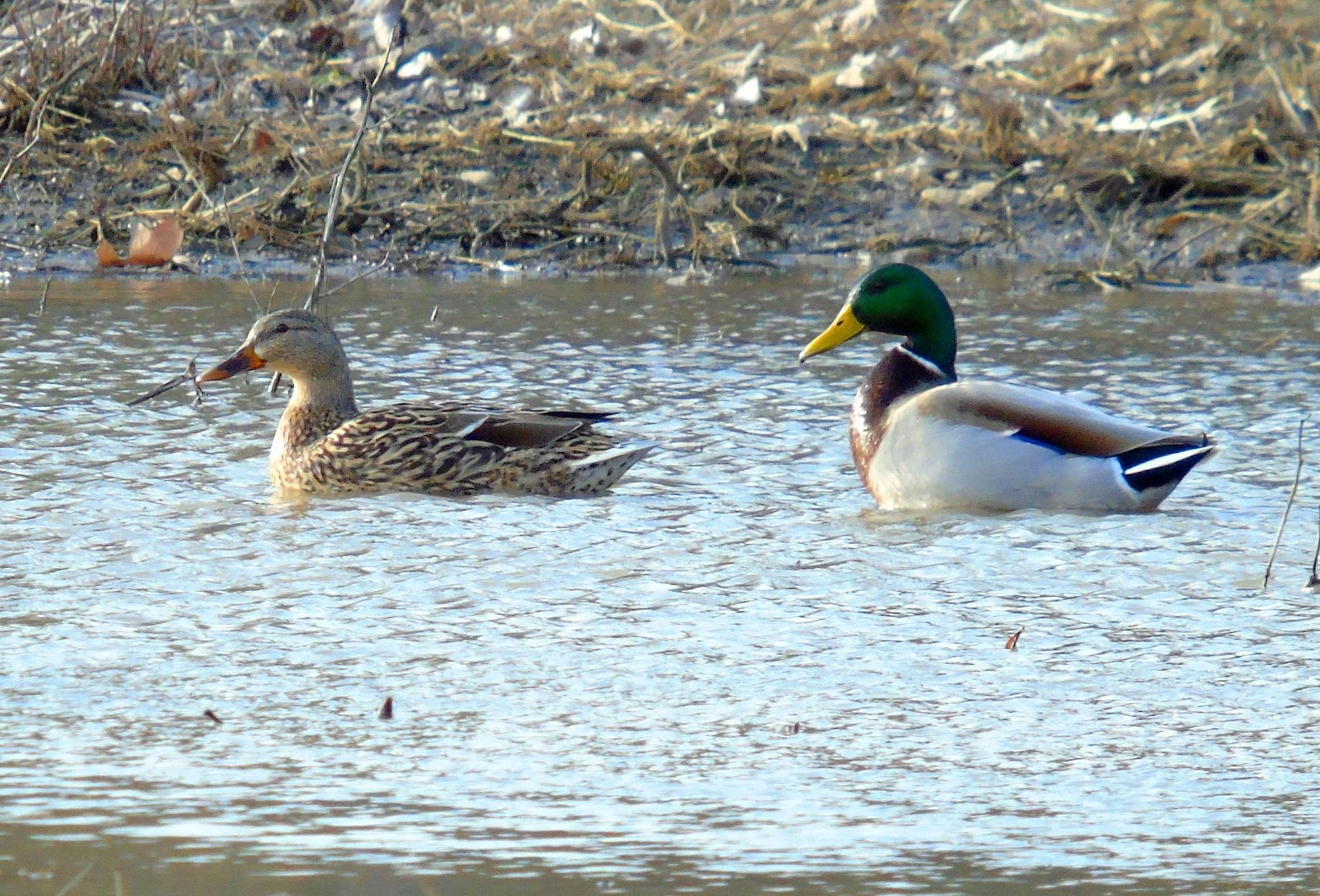 Mallard Ducks 1 by Mike Johnson
