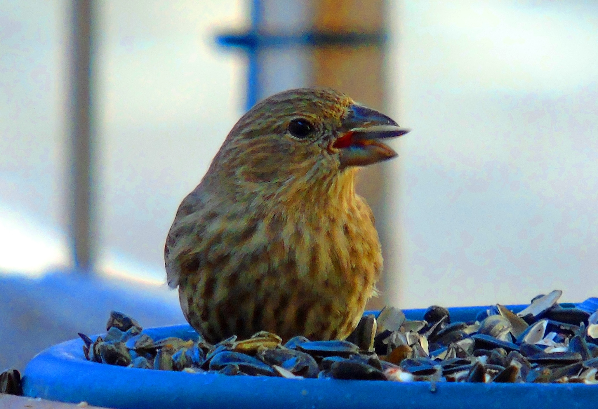 House Finch 2 by Mike Johnson