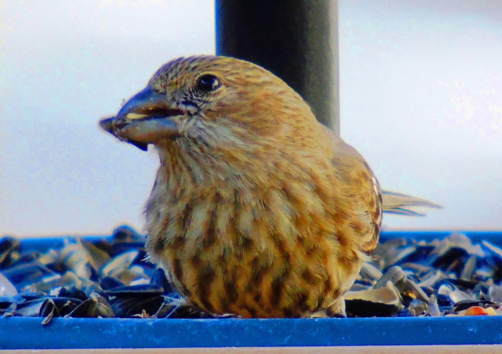 House Finch 1 by Mike Johnson