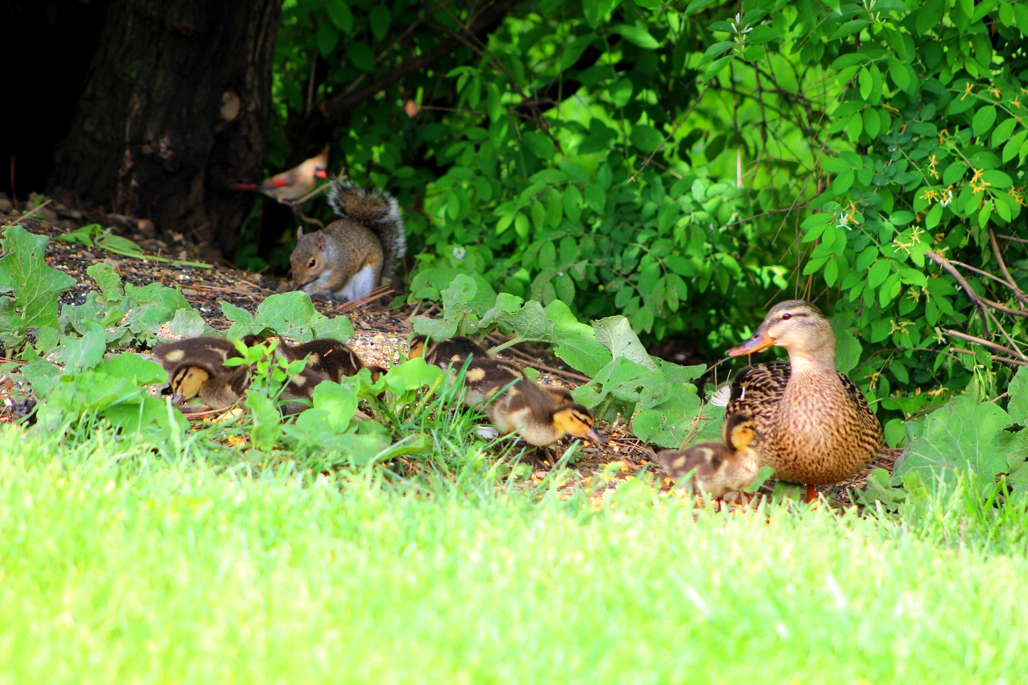 Mallard Ducklings by Mike Johnson