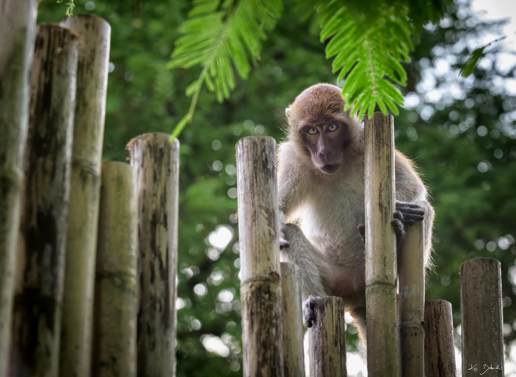 Wild Monkey  by KrisBednarzewski