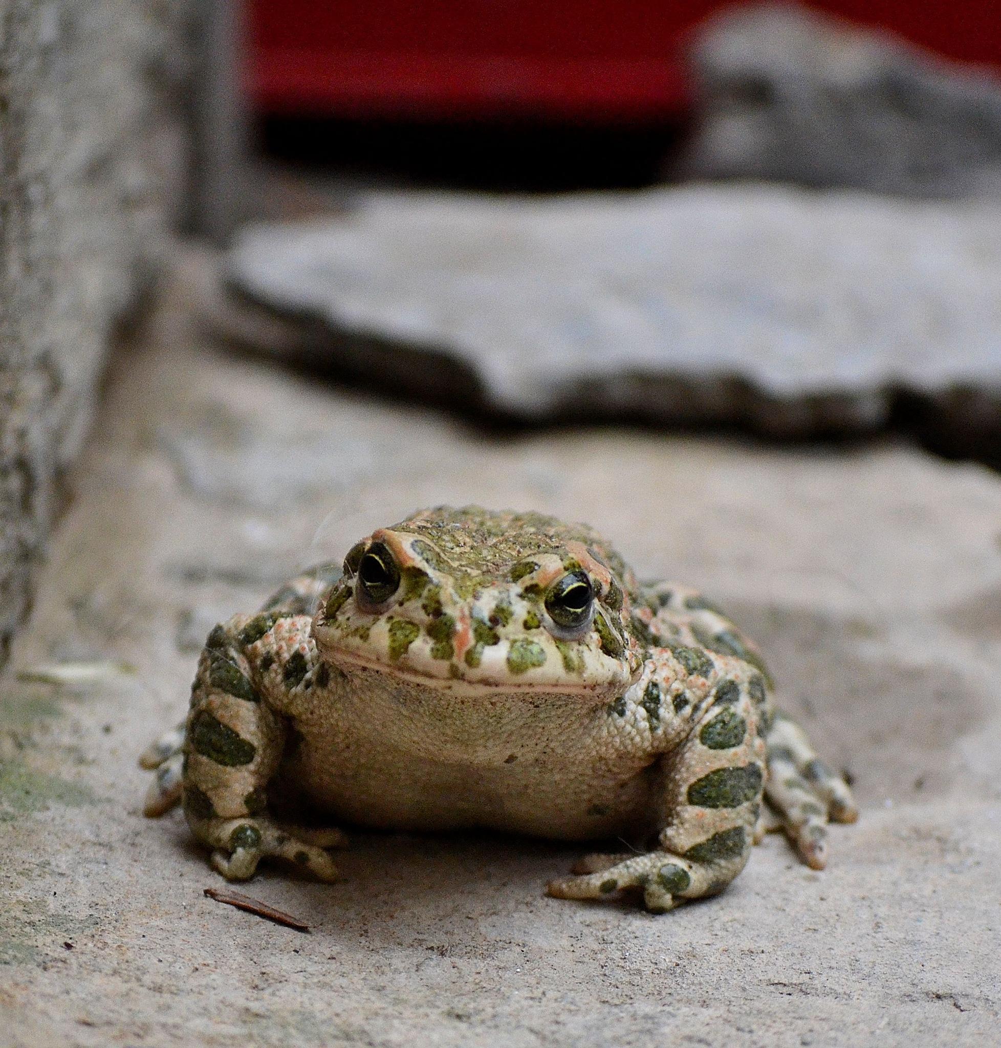 Frog by tatjanasudicki