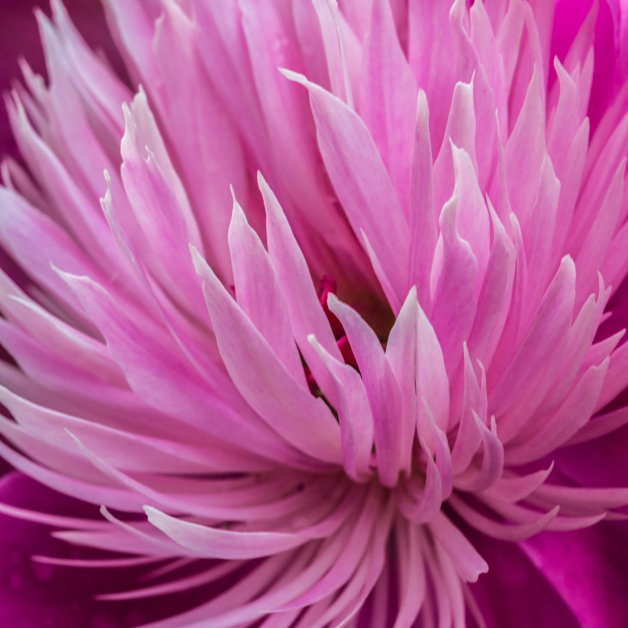 Pink Peony by John Watson