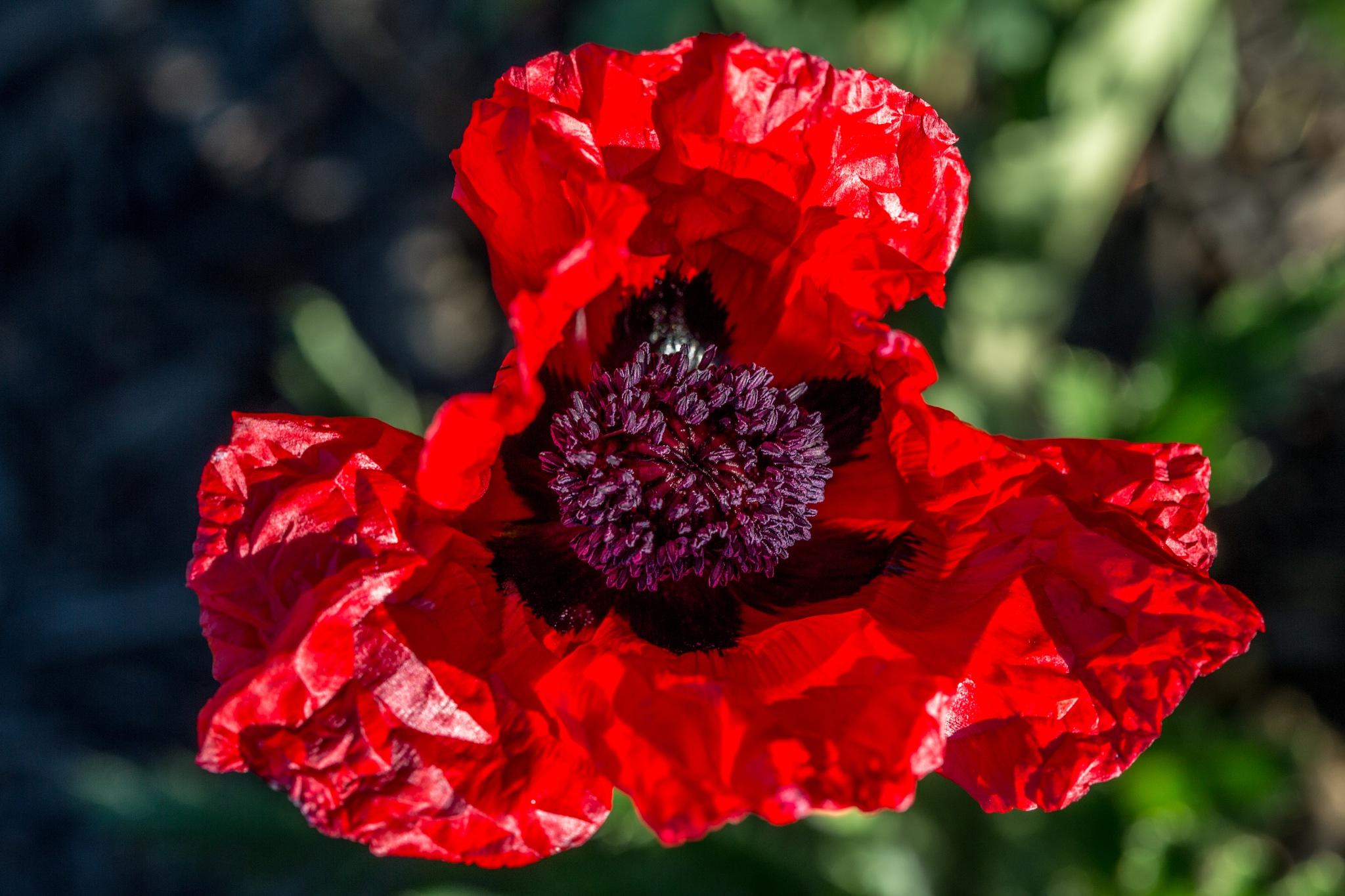 Big Red Poppy Opening  by John Watson