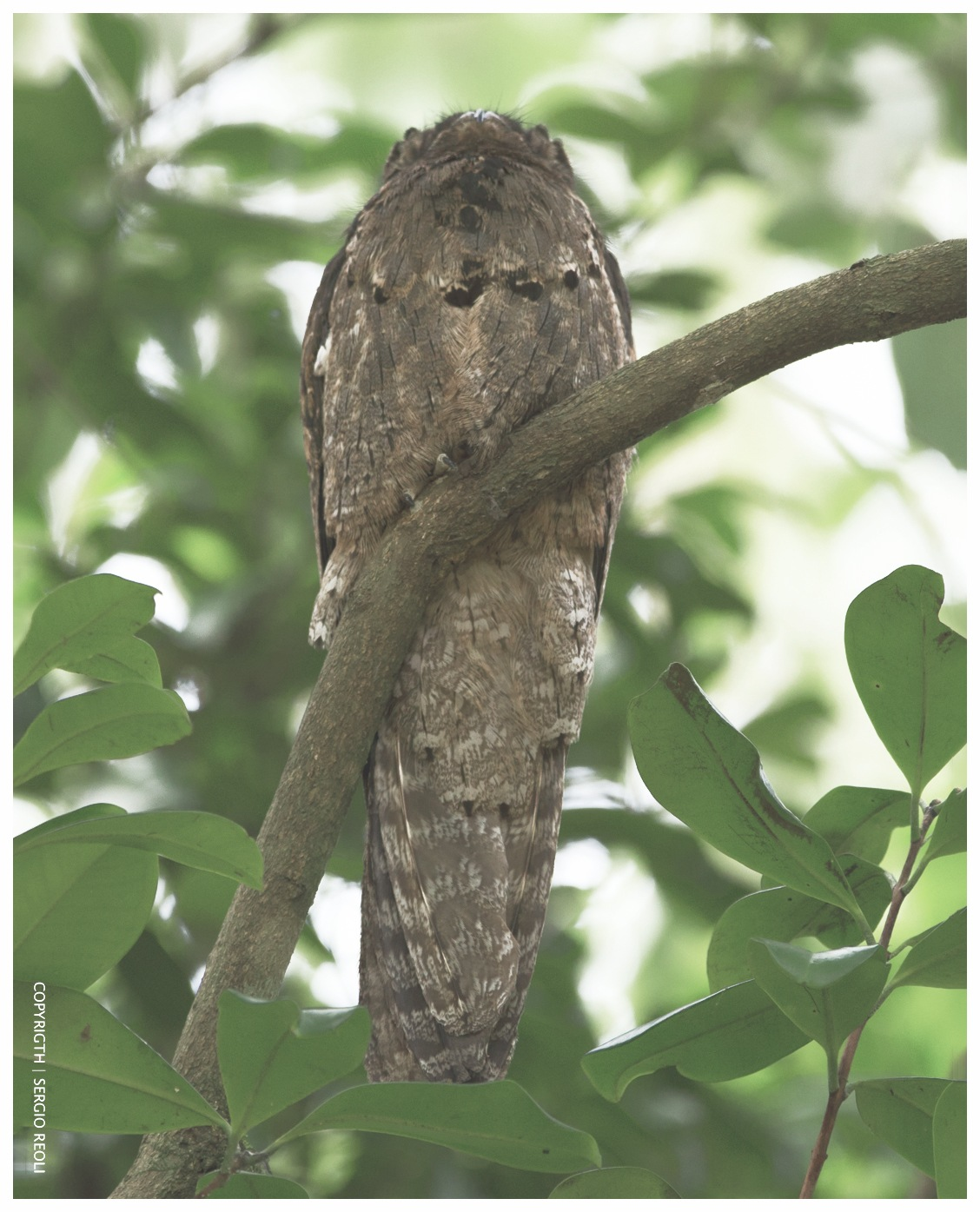 Urutau or mother-of-the-moon (Nyctibius griseus) by  ®Sergio ReOli