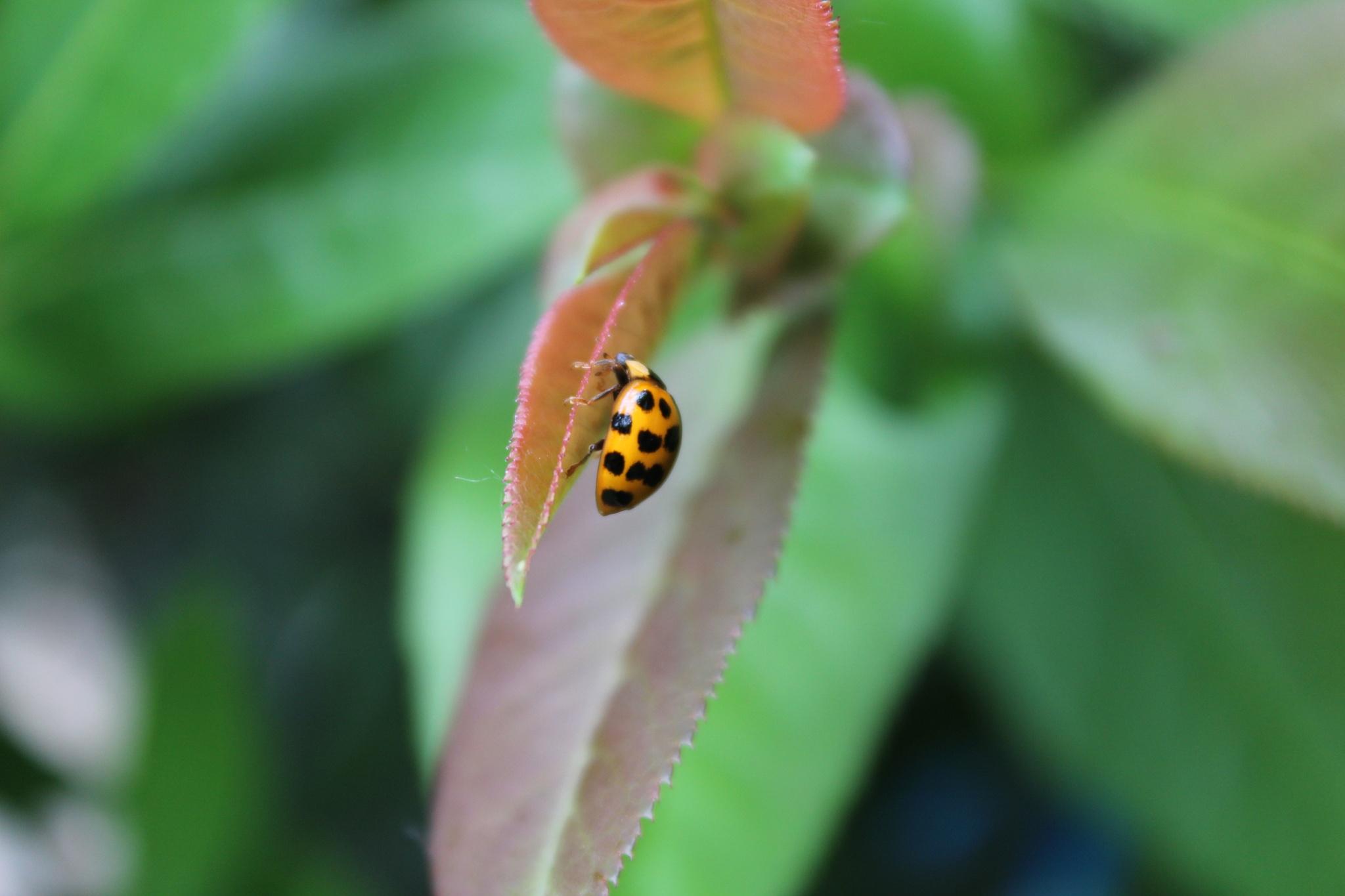 Coccinellidae  by fer_nanda